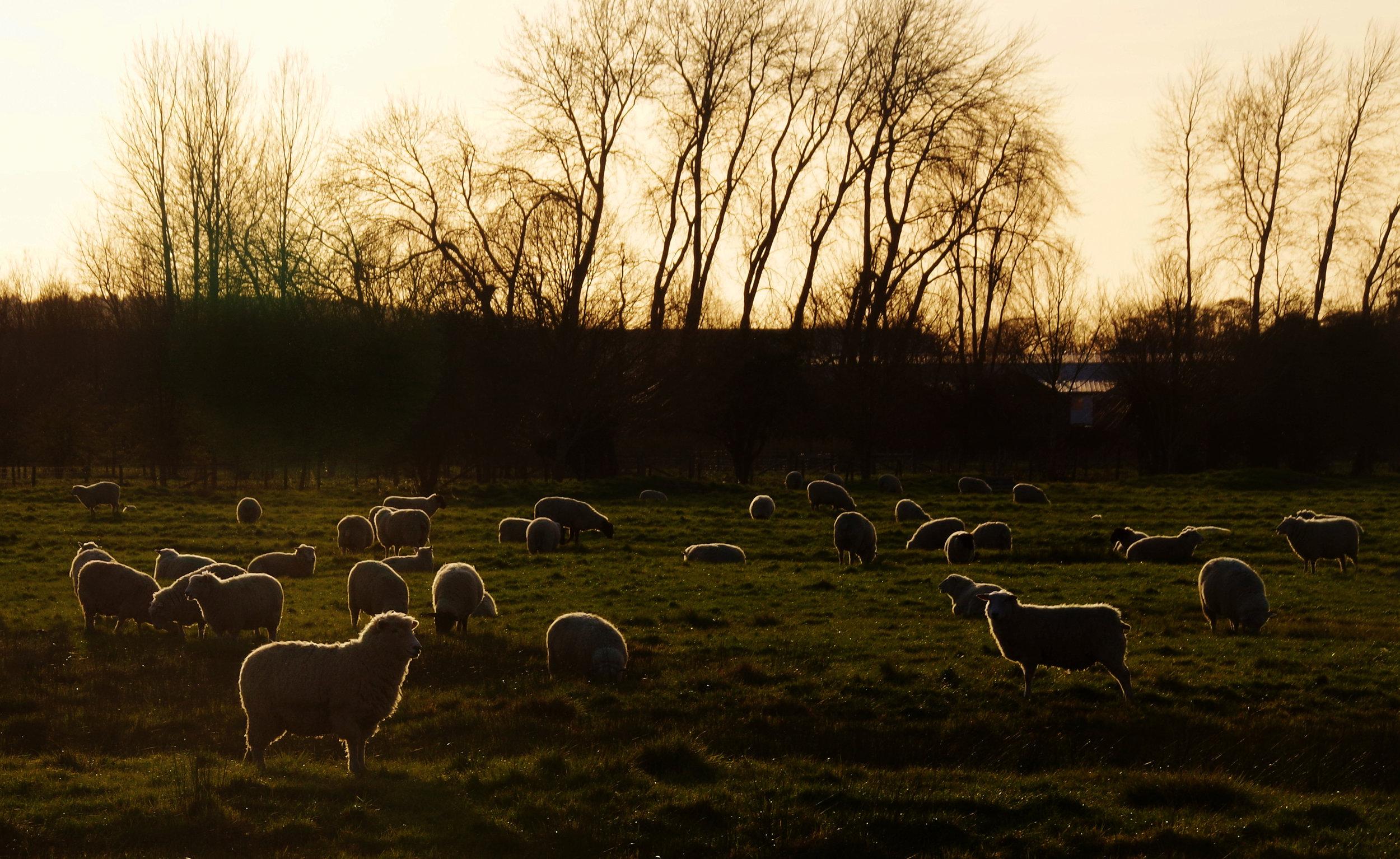 24_Sheep_Louise Topp