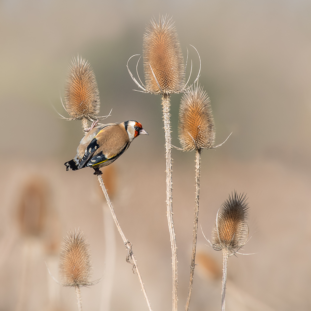 """First """"Goldfinch Gold' by Mark Cooper"""