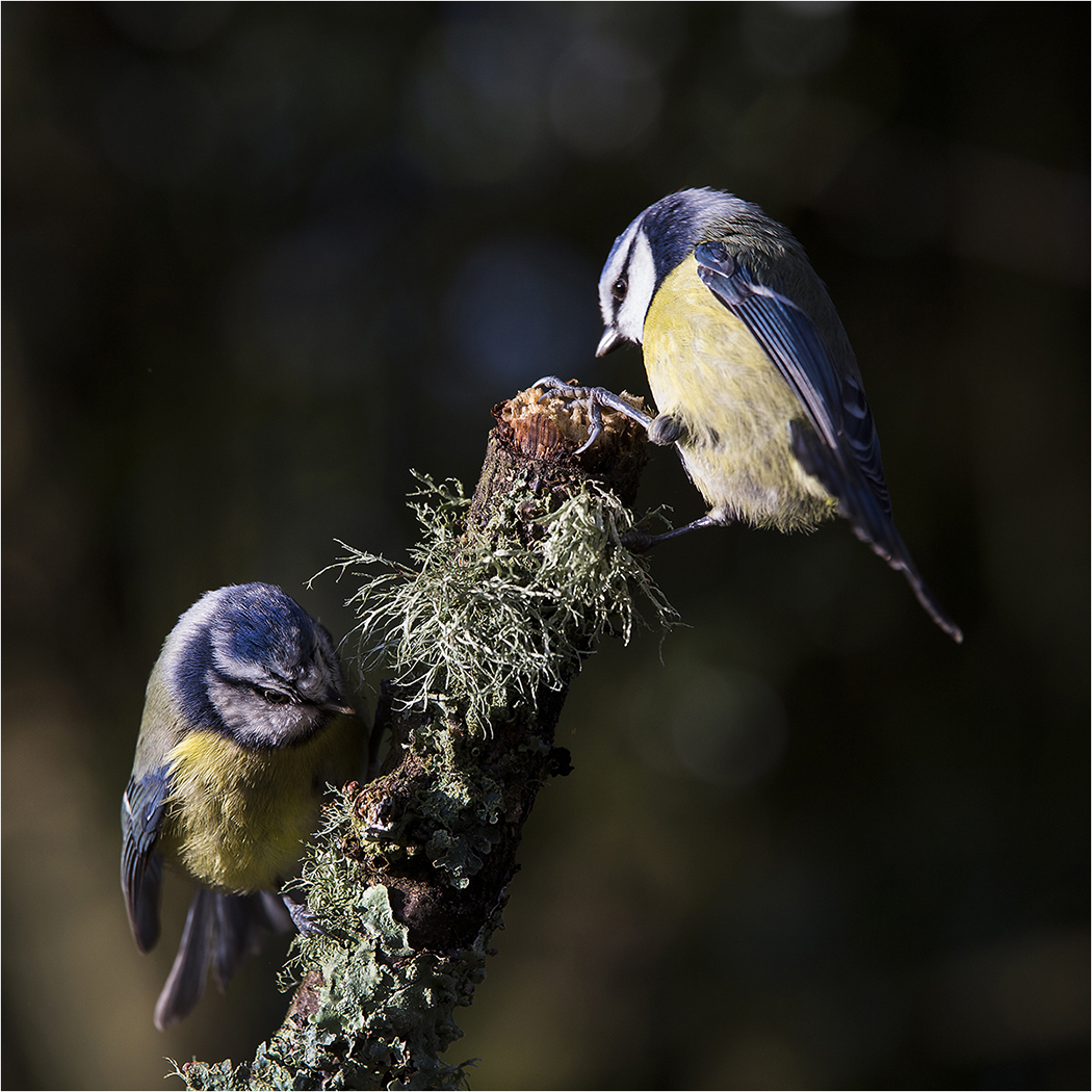 Second 'Blue Tits' by Tony Oliver