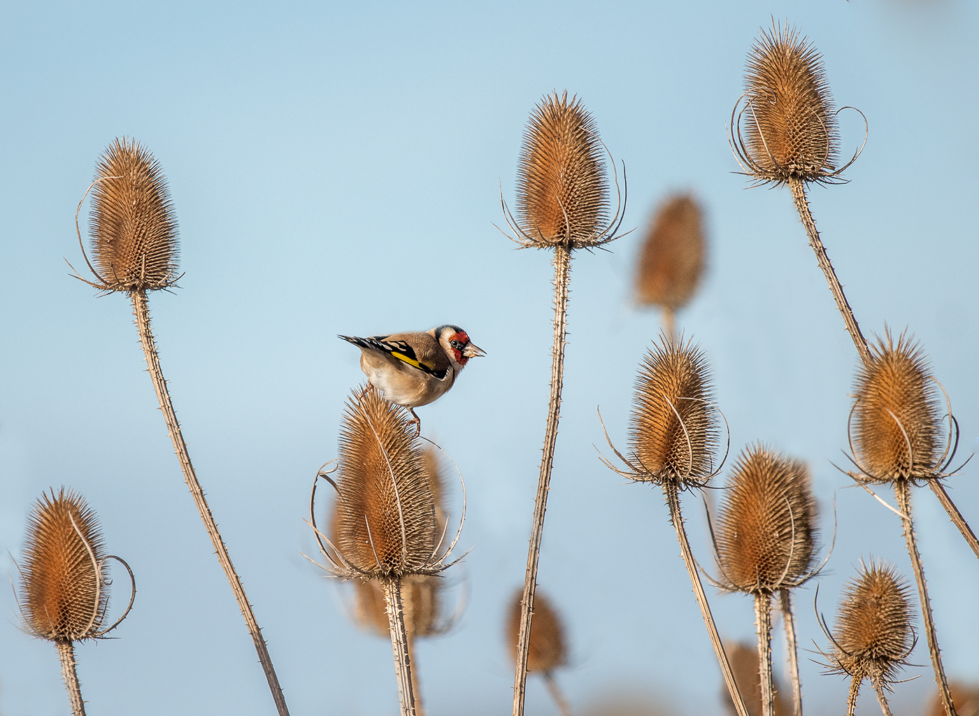 'Goldfinch Heaven' by Mark Cooper