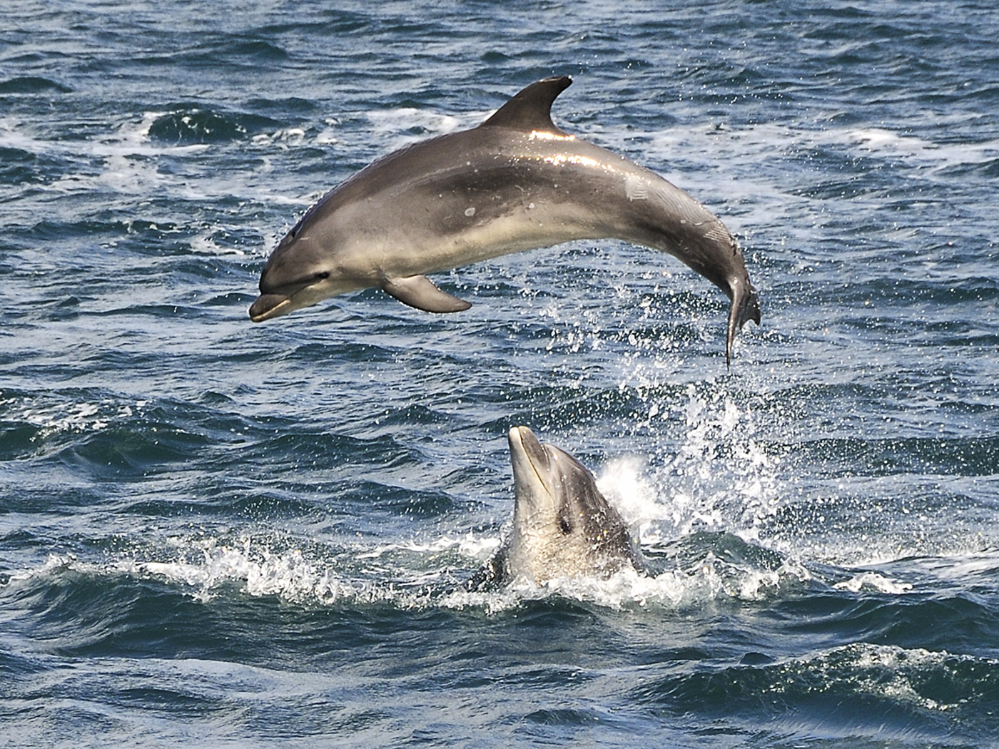 'Dolphins in Queen Charlotte Sound' by Mike Brown