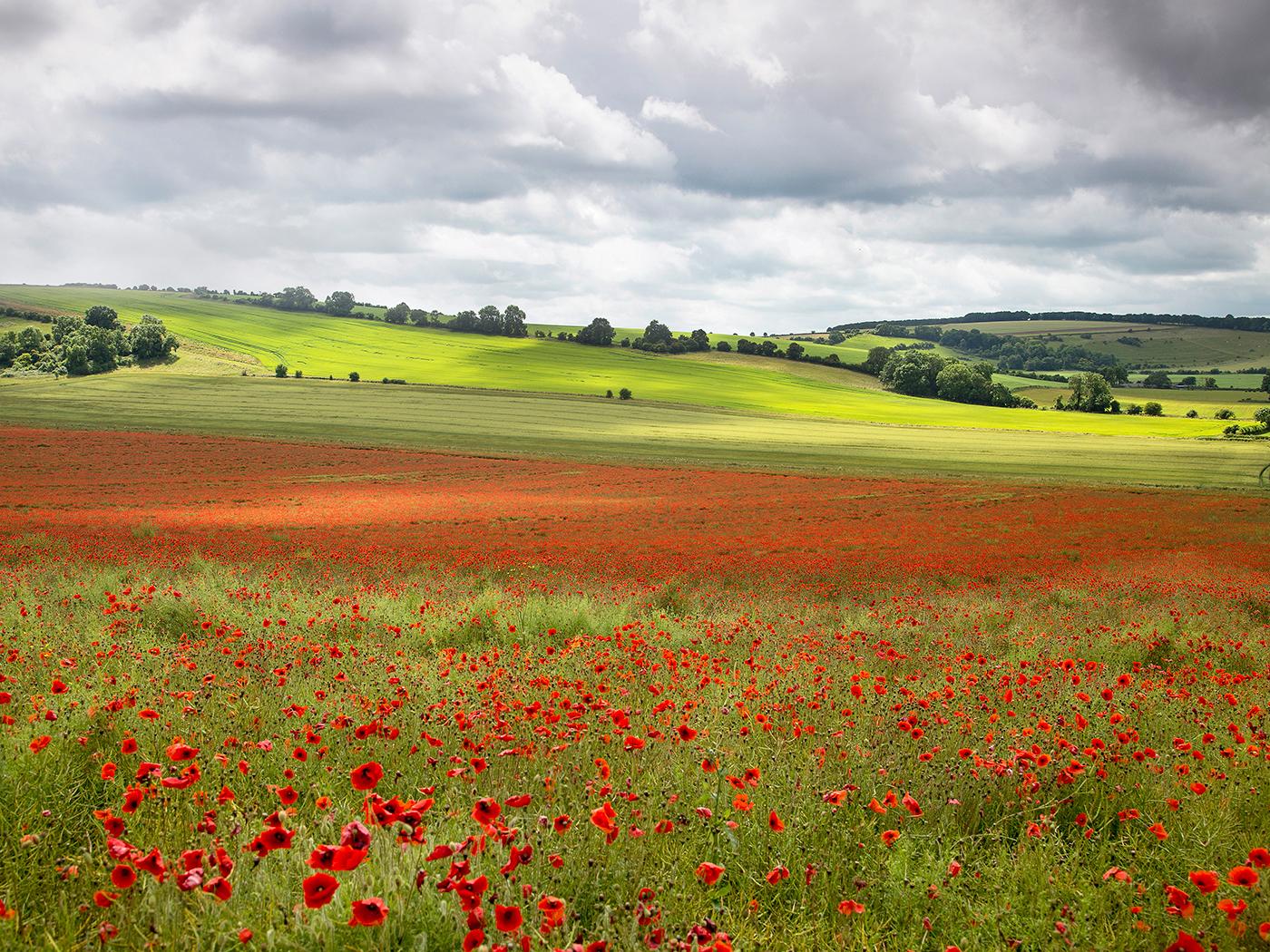 'Poppyscape' by Tony Oliver