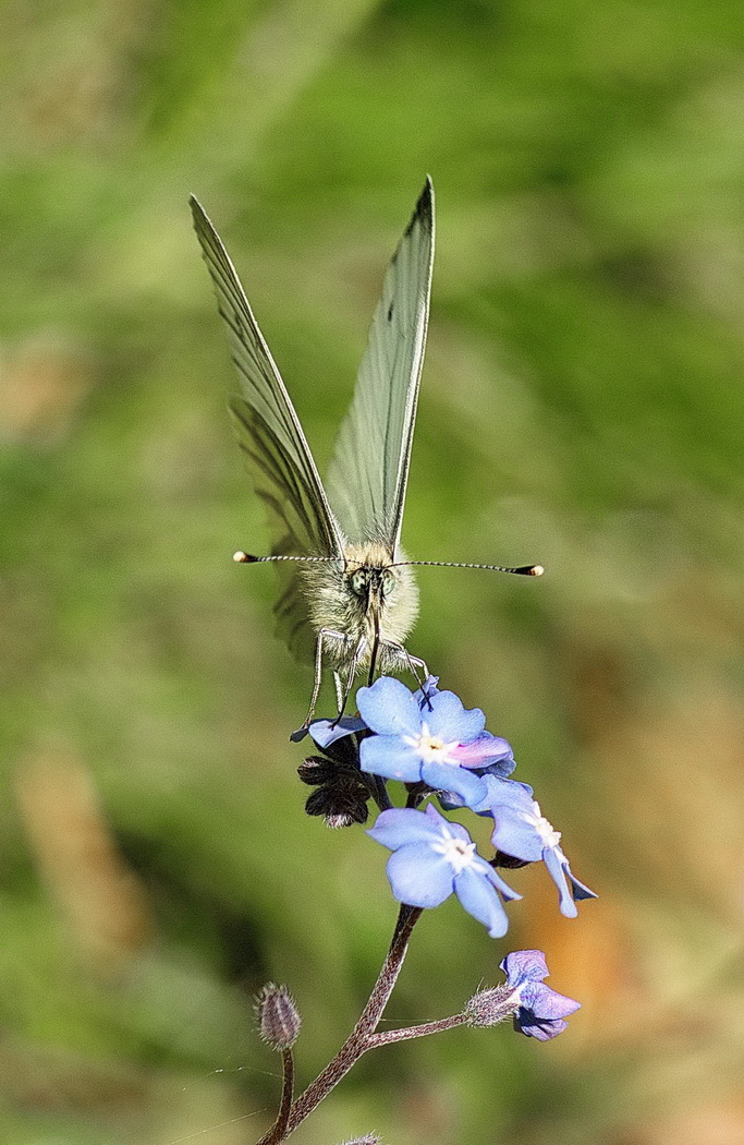 'Greenveined White' by Roger Kent