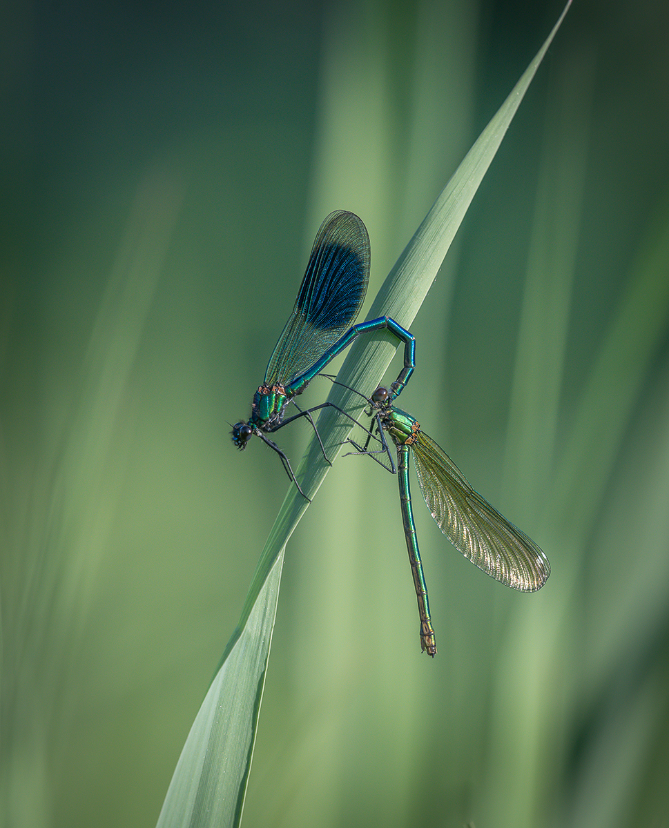 'Mating Banded Demoiselle' by Mark Cooper