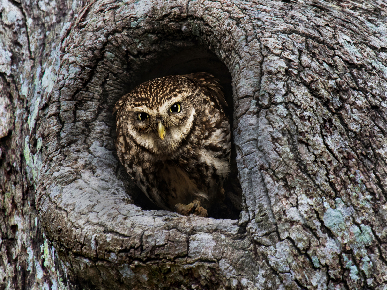 First 'Outraged Owl' by Ian Porter