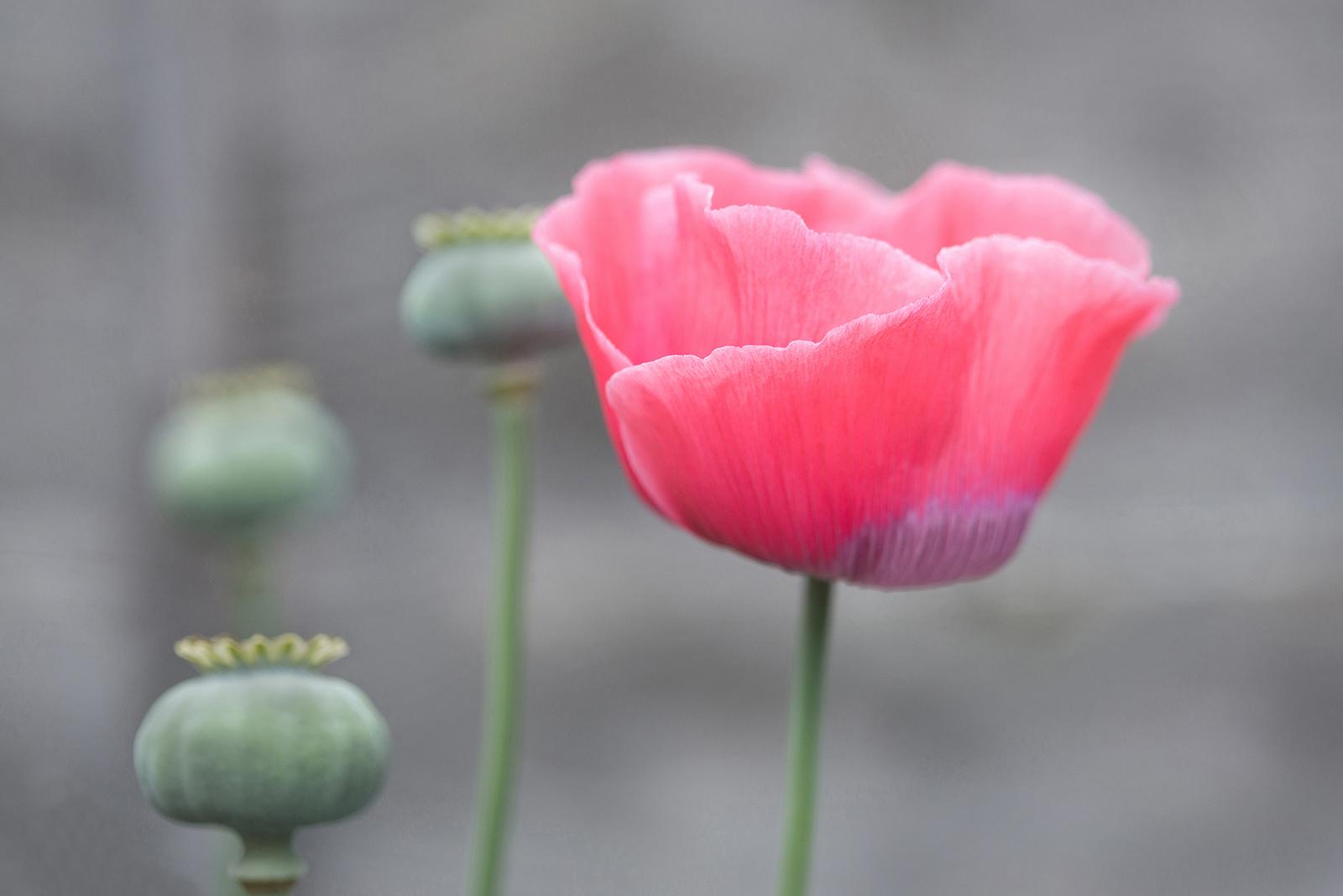 Second 'Last Poppy' by Sarah Shelley