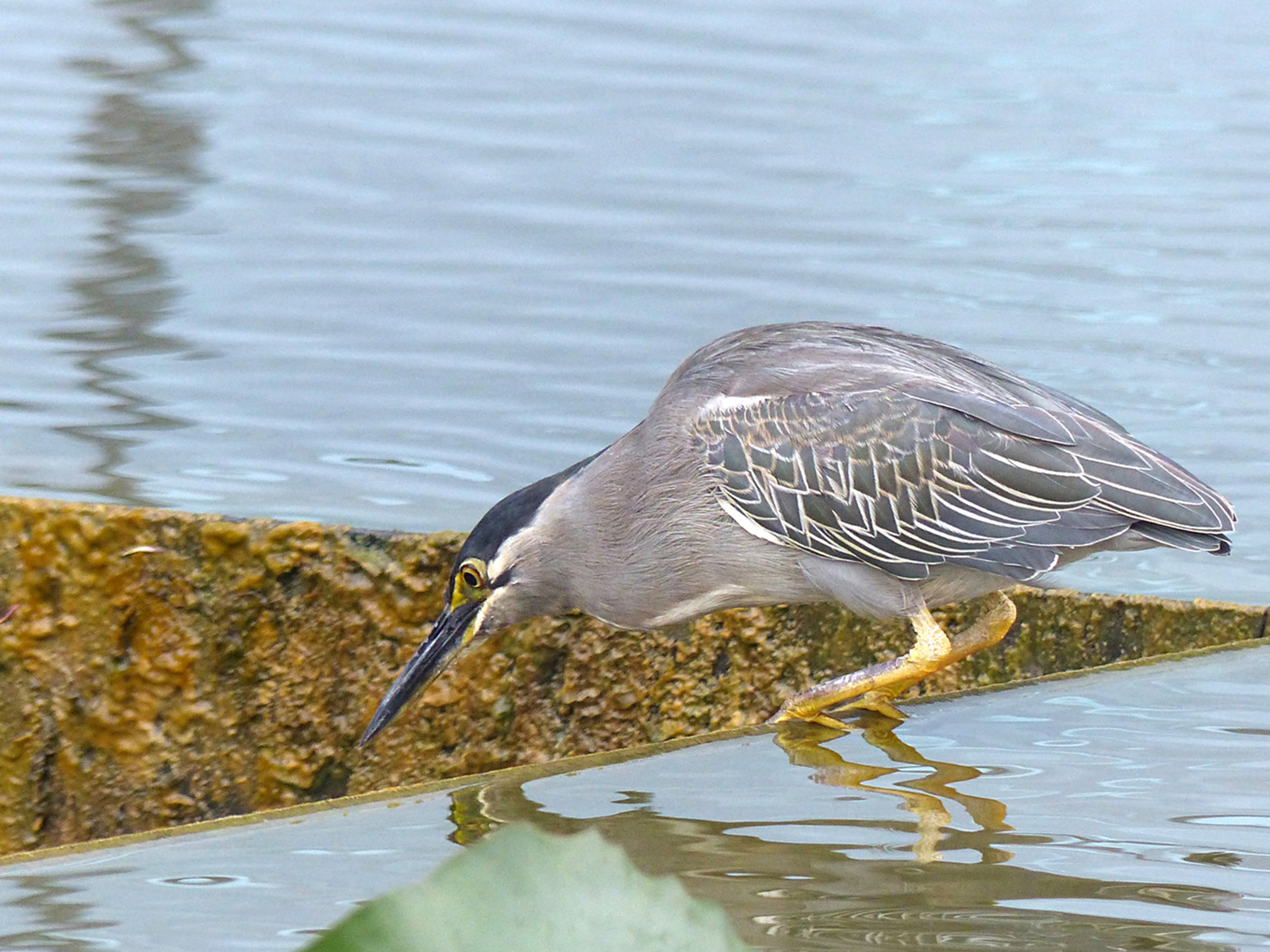 07_Asian heron_Austin Thorp