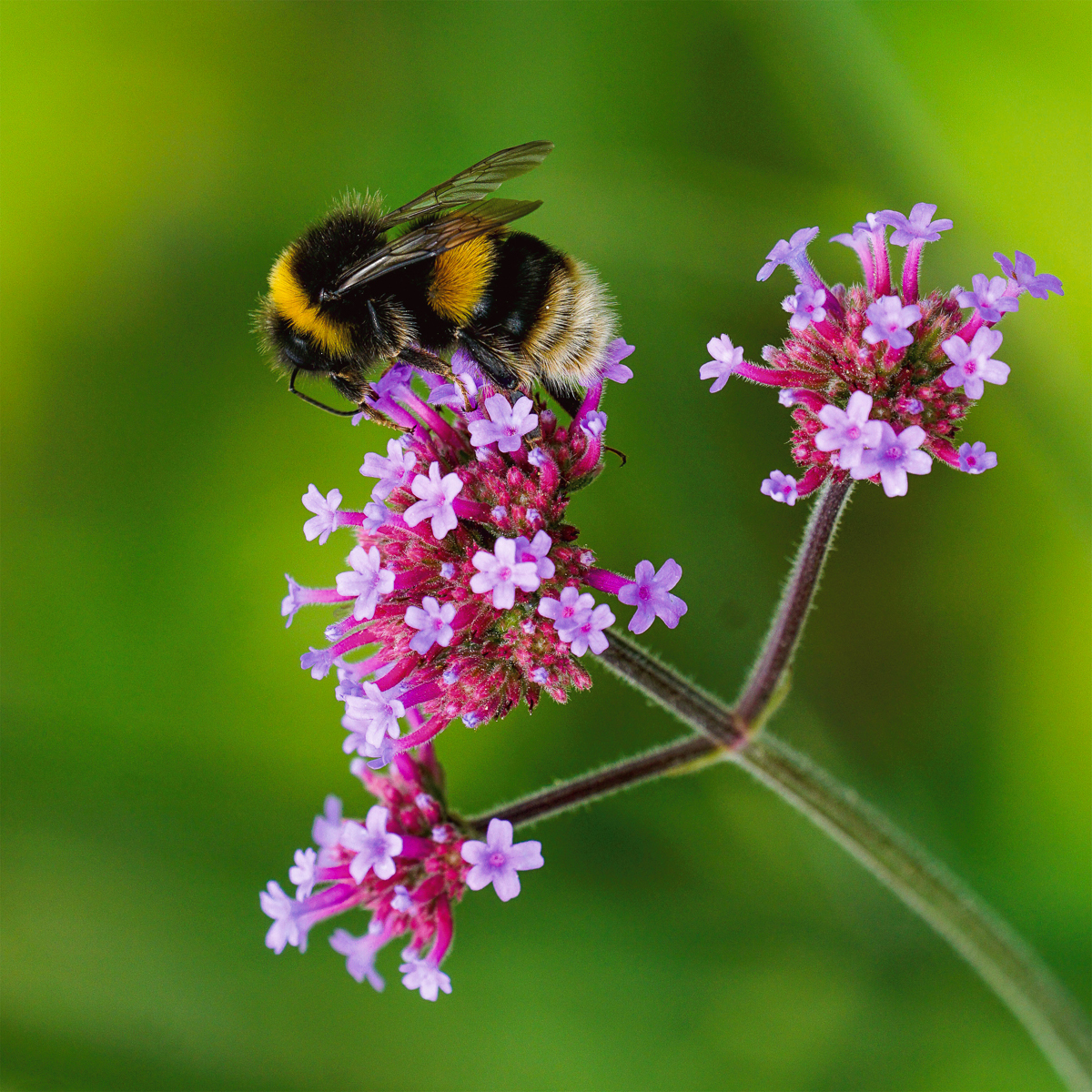 65_Bee on Verbena_Terry Waldron