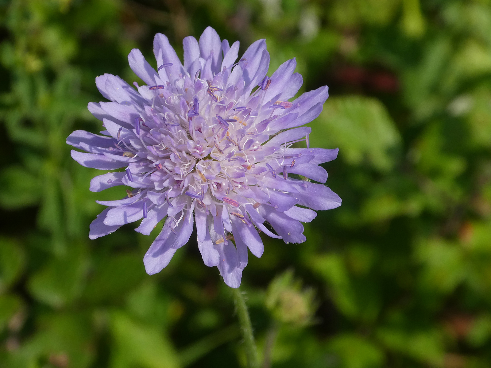 "Second ""Scabious' by Richard Temlett"