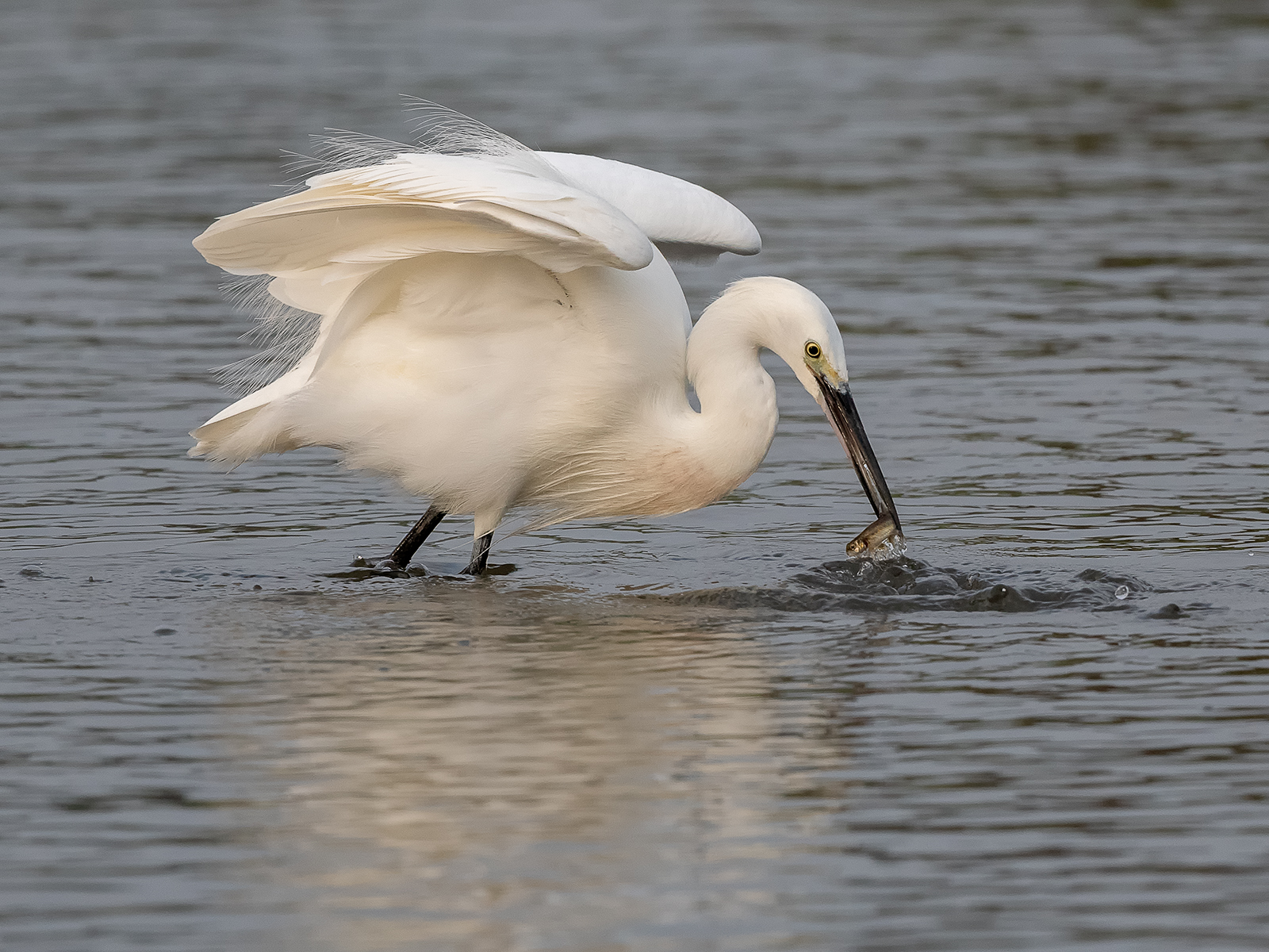 First 'Little Egret' by Mark Cooper