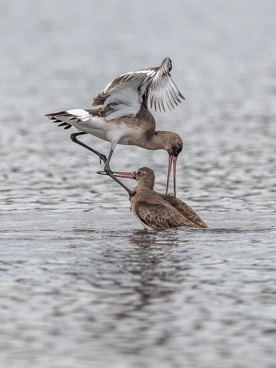 First 'Blacktailed Godwit Flight' by Mark Cooper