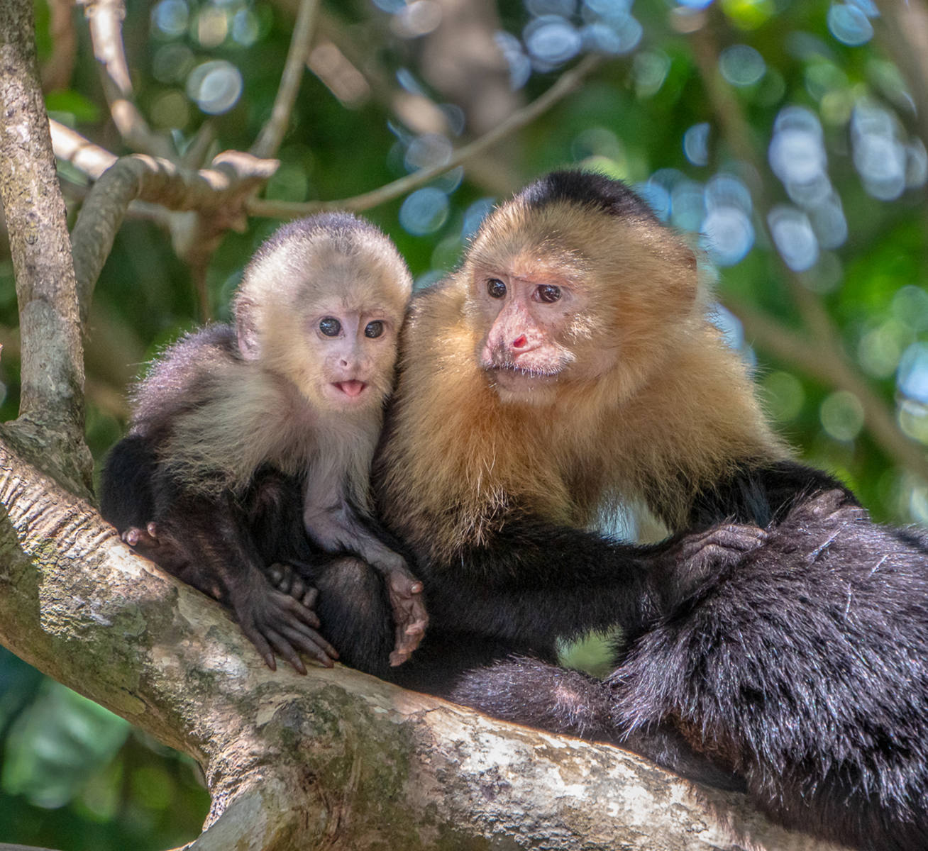 First 'Capuchin Family by Jeremy Court