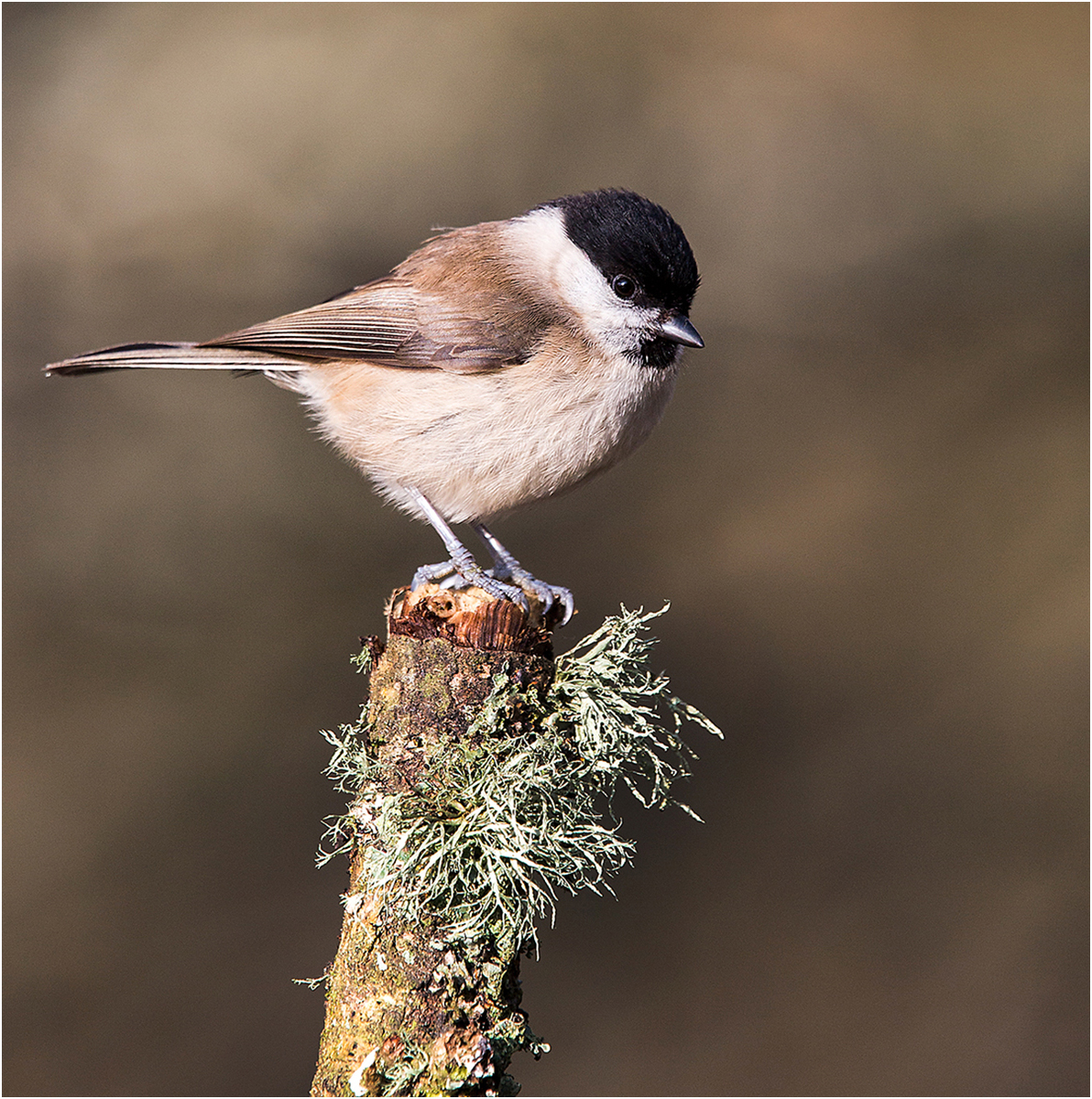 First 'Marsh Tit' by Tony Oliver