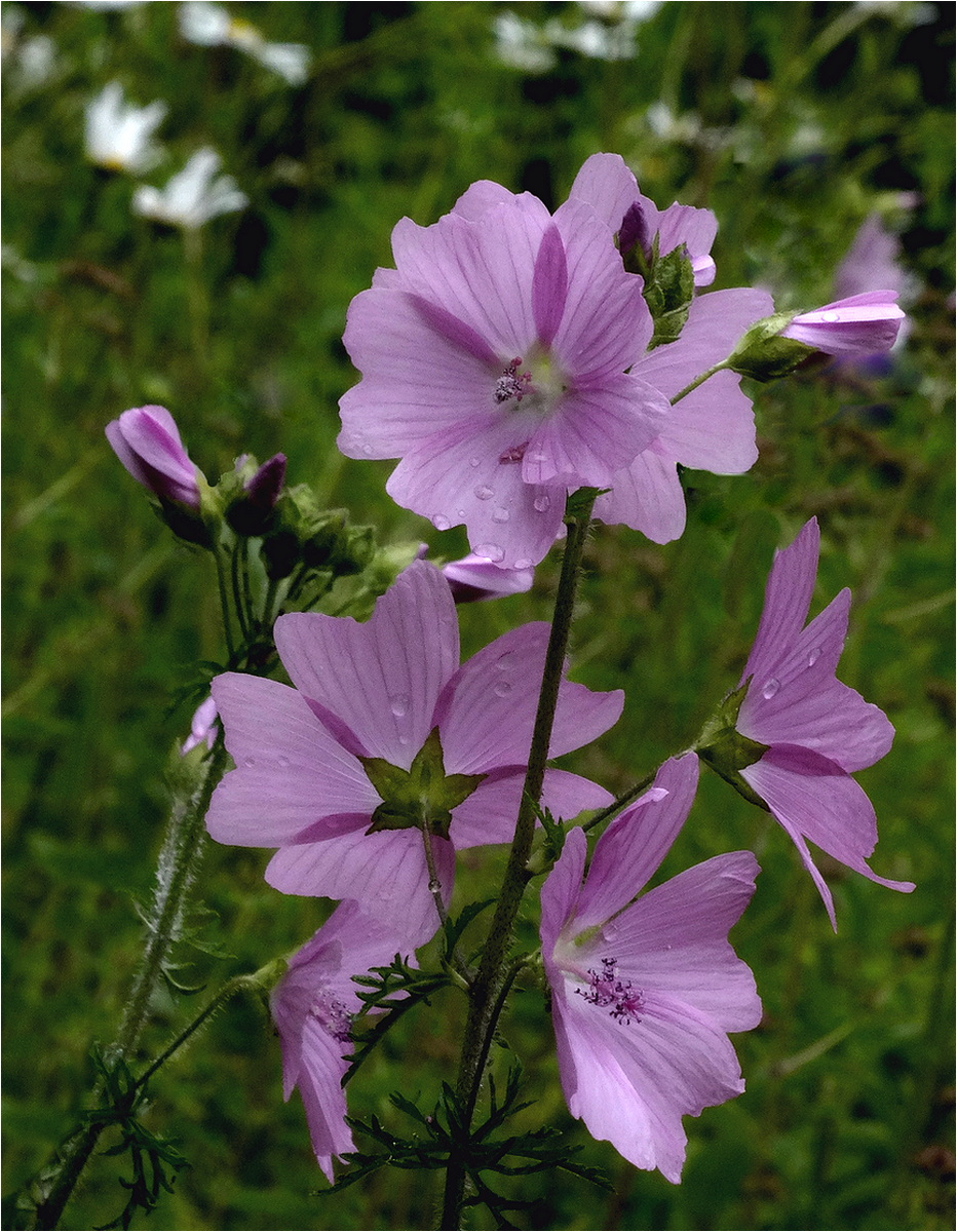 HC 'Common Mallow' by Peter Read