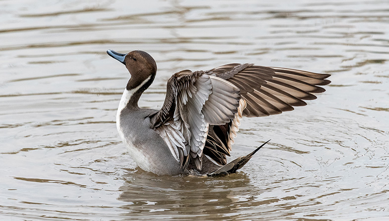 'Pintail Duck' by Mark Cooper