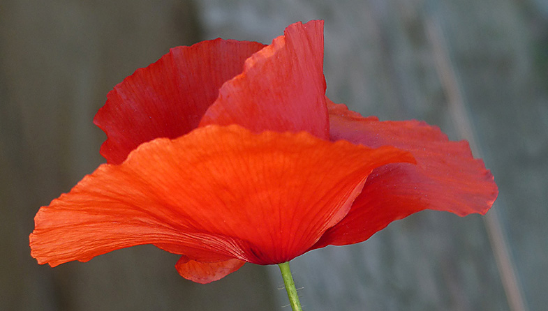 'Lone Poppy' by Jo Horscroft