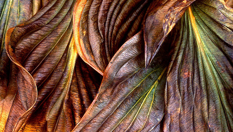 'Hosta' by Sheila Read