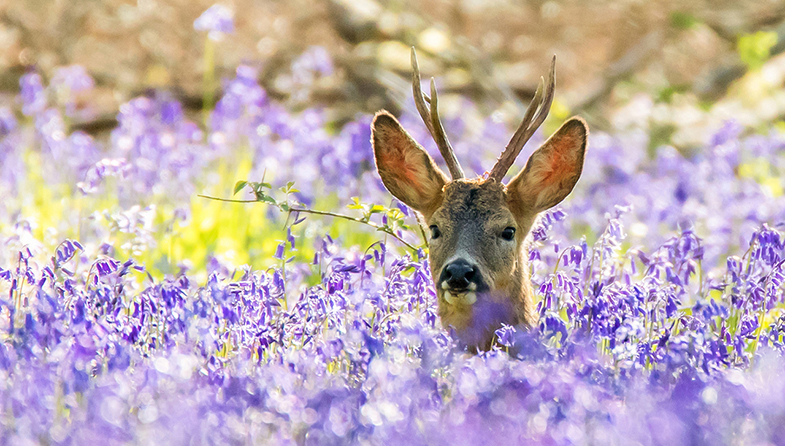 'Deer in Bluebells' by Martin Cook