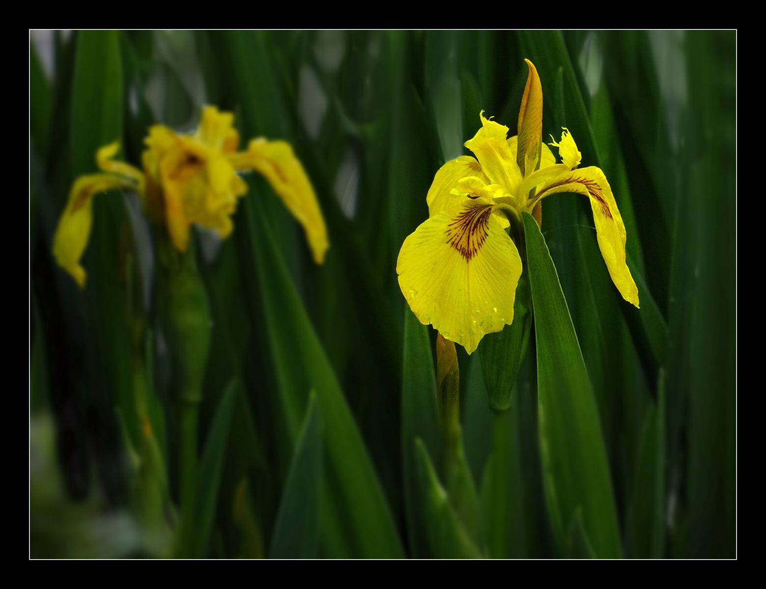 'Yellow Iris' by Peter Read