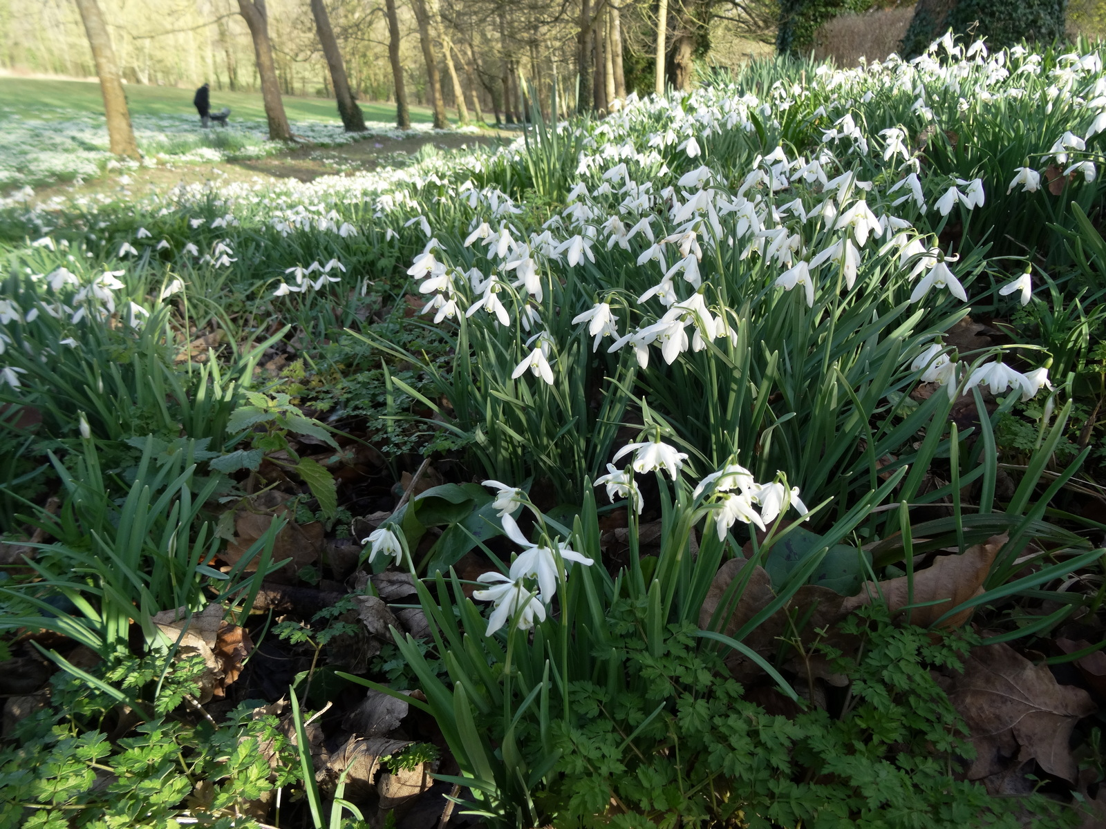 'Snowdrop Spring' by Peter Read