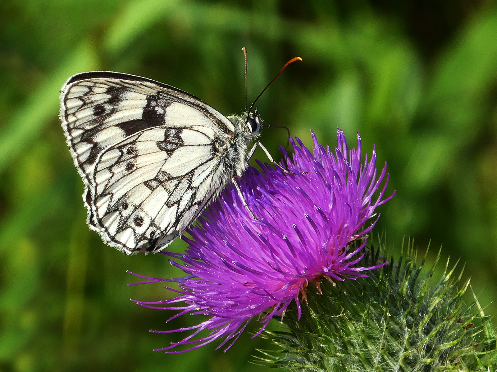 'Marble White on a Thistle' by Richard Temlett