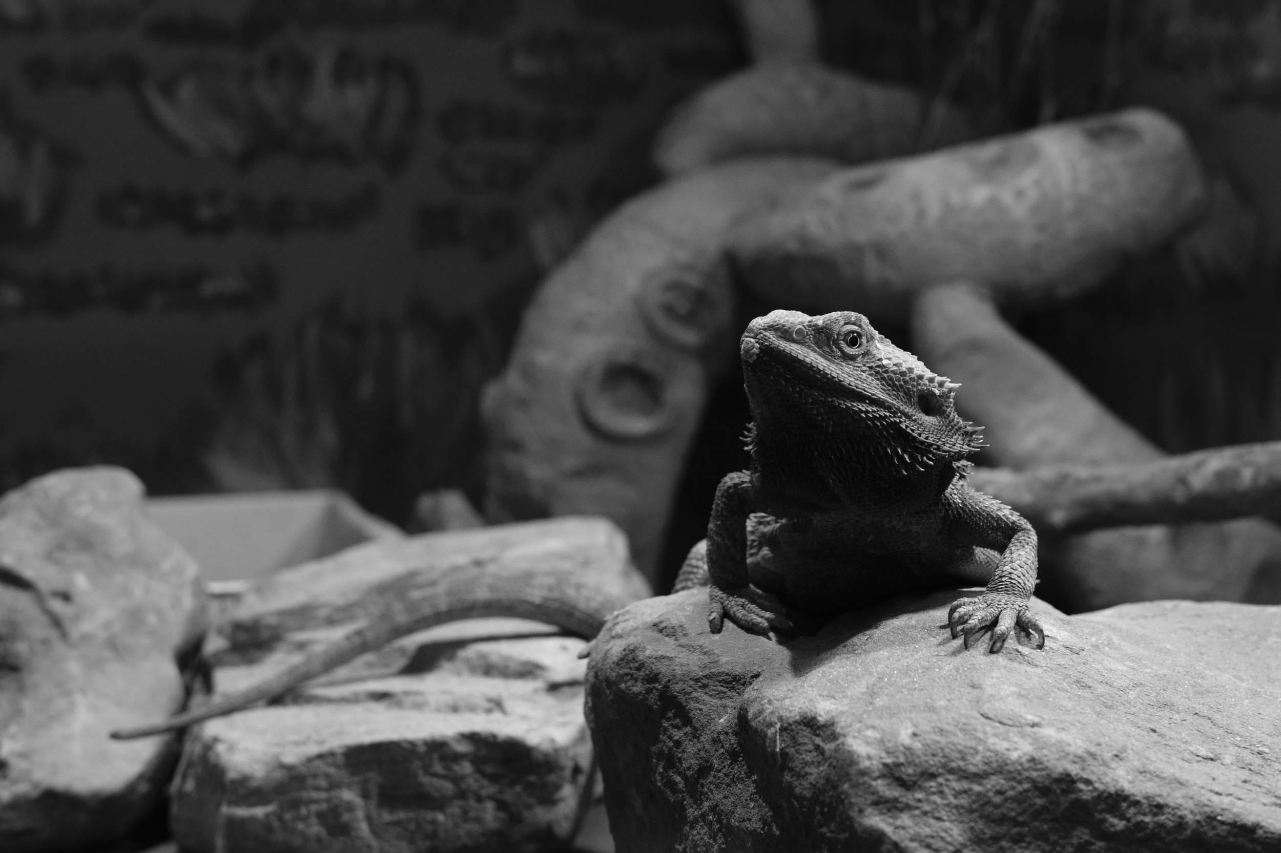 Black & White Lizard at Eshottheugh Animal Park, Northumberland