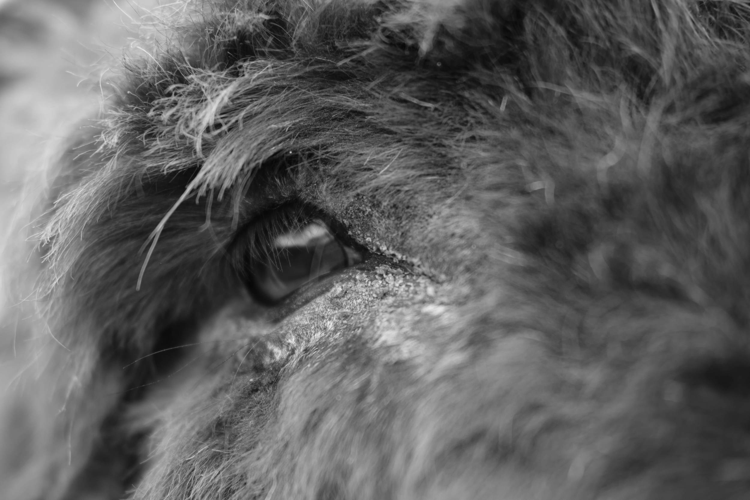 Black & White close up of donkey's eye at Eshottheugh Animal Park, Northumberland