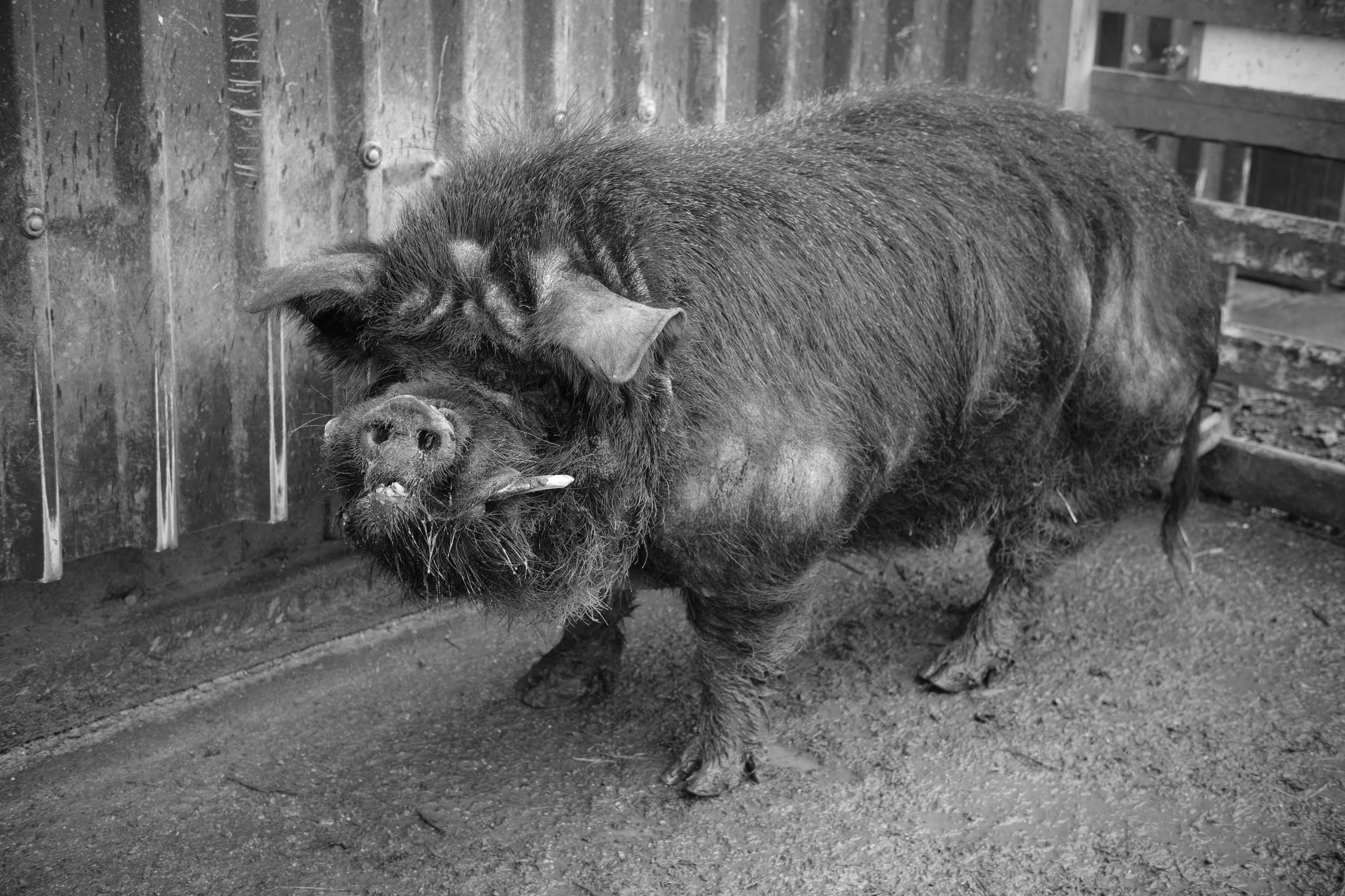 Black and White male pig at Eshottheugh Animal Park, Northumberland