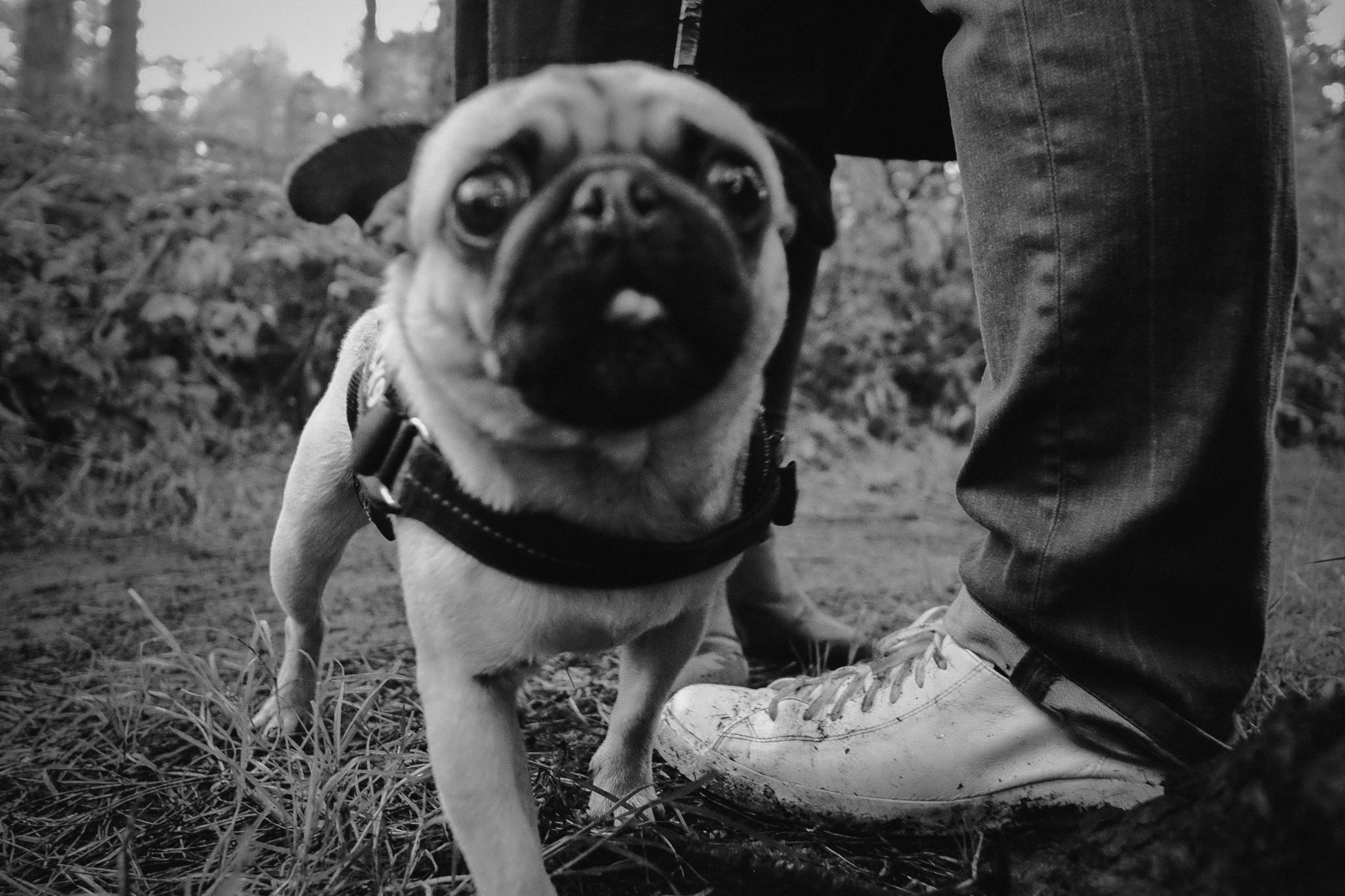 Blurry black and white close up of dog with engaged couples feet behind
