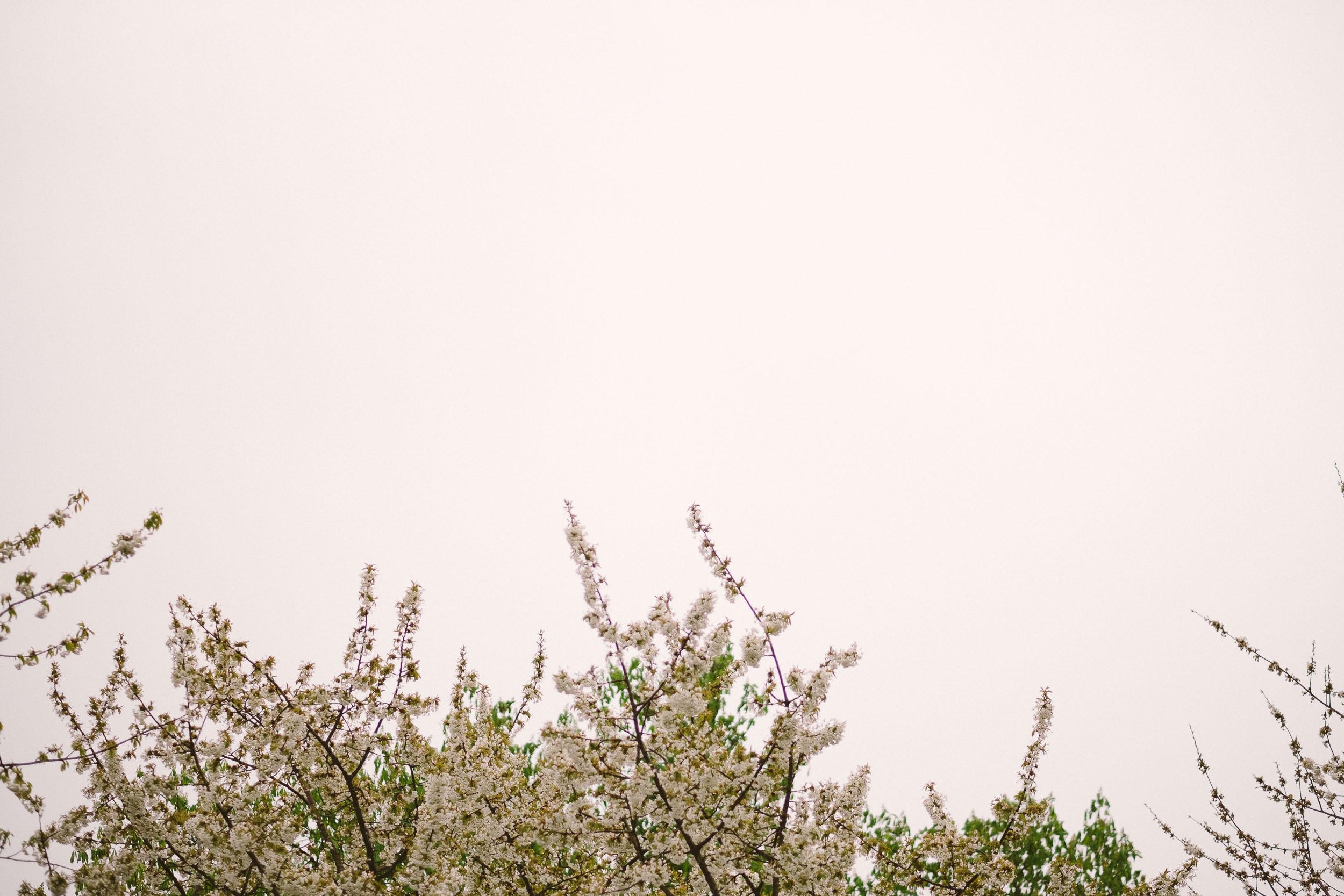Tree blossoms outside Wallsend Hall