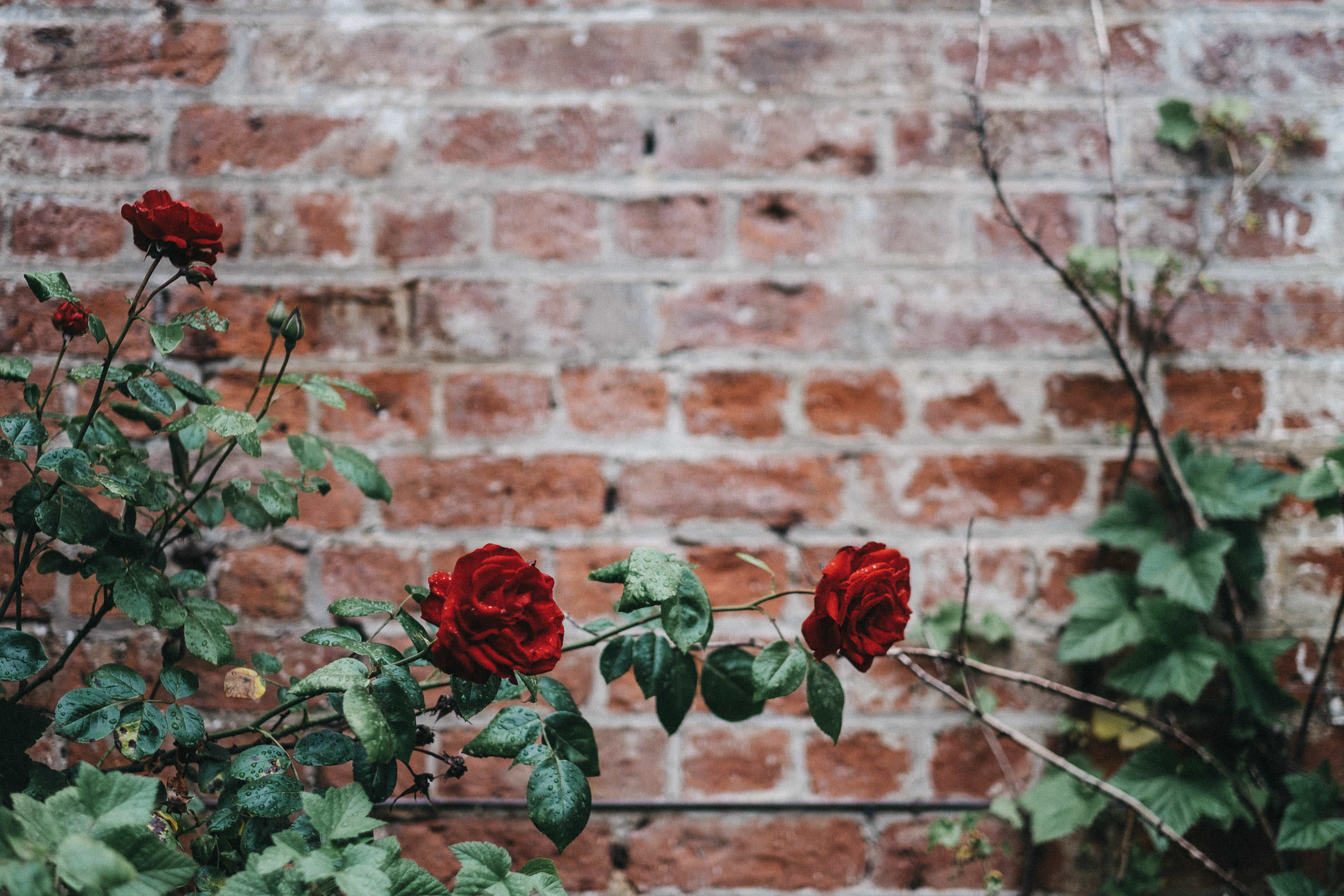 Roses dripping with rain with brick wall behind