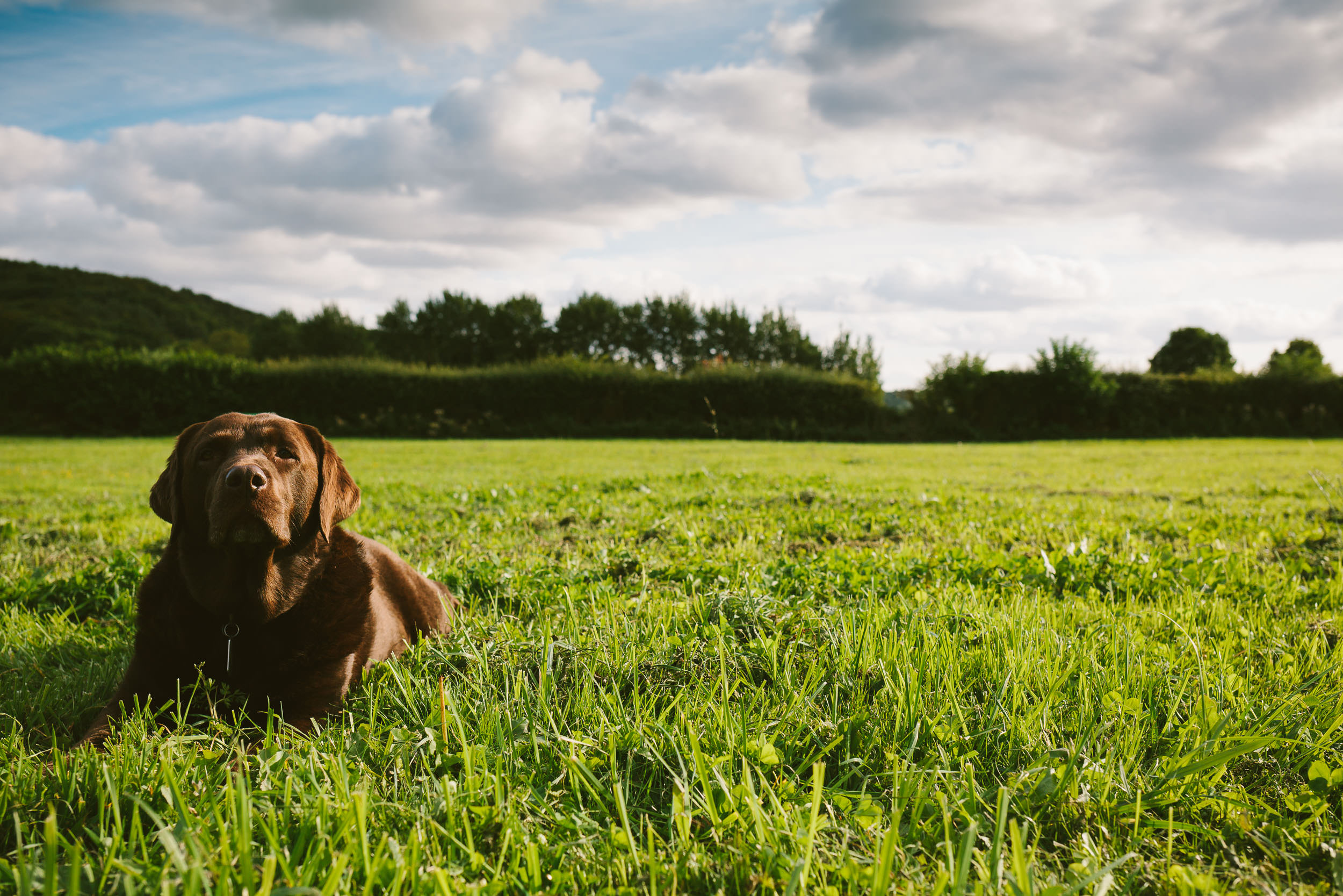 Brown Labrador lying in a field during an outdoor wedding