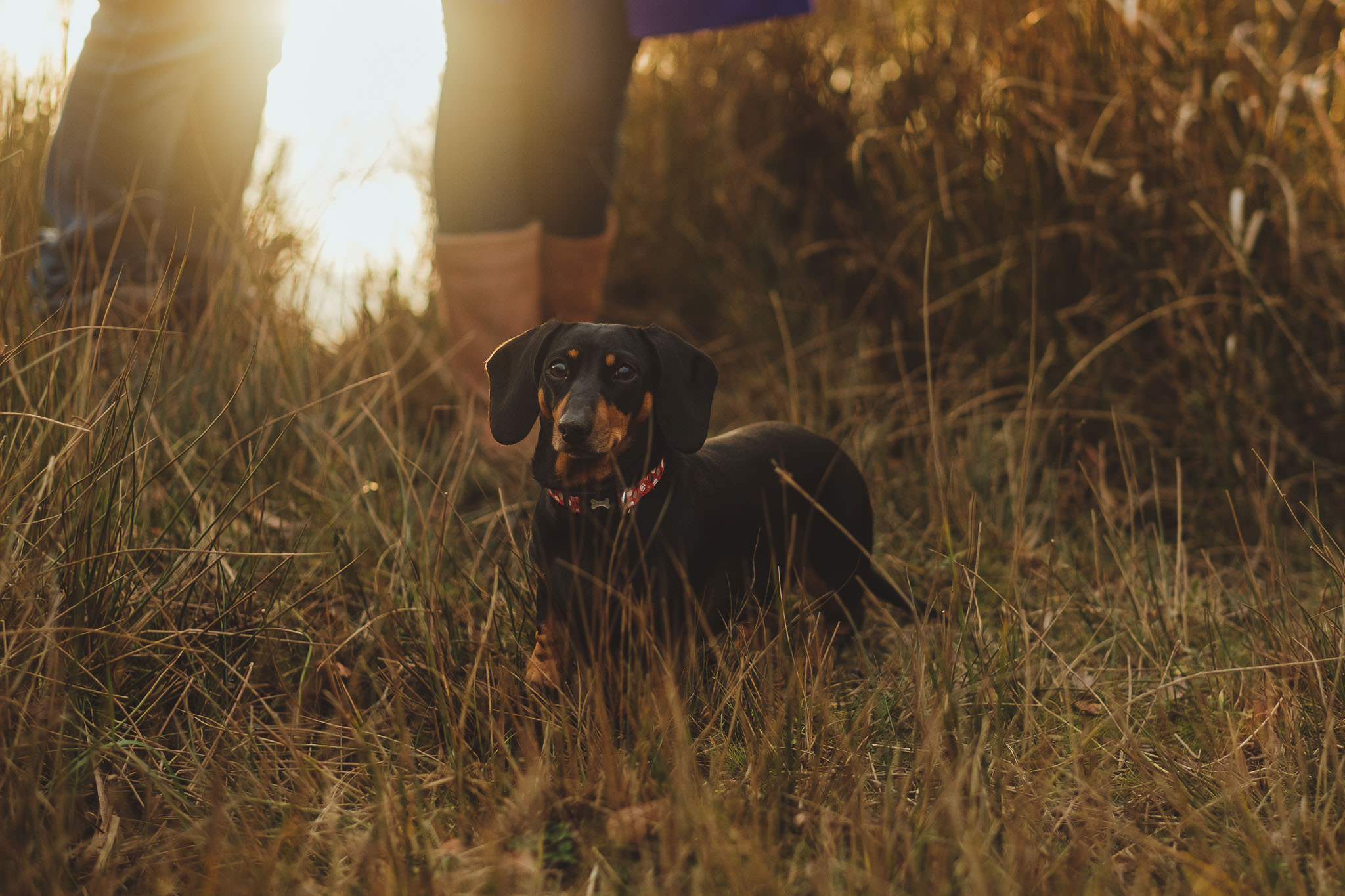 A sausage dog standing in tall grass at sunset in Newcastle