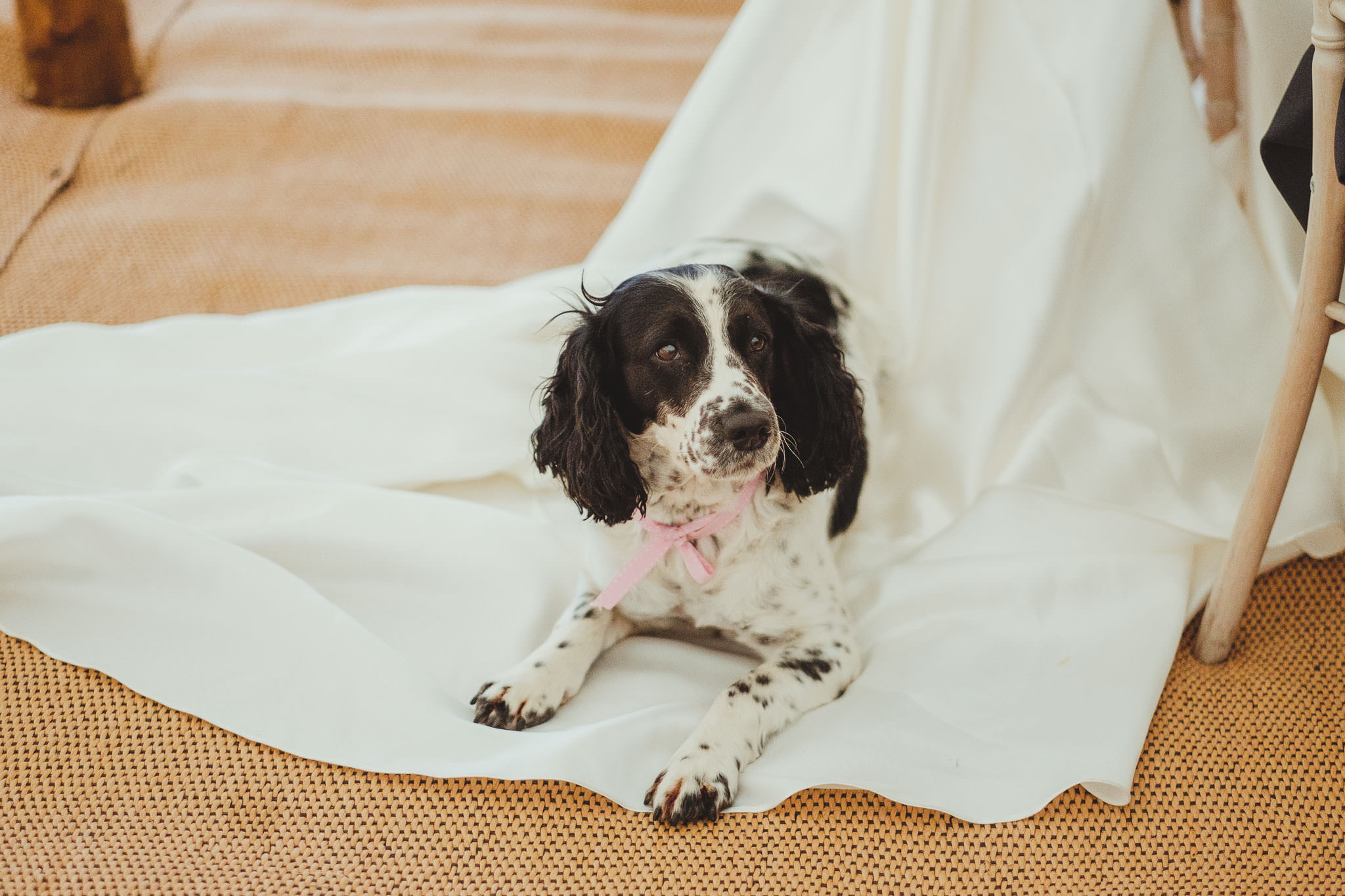 The bride's dog sitting on her wedding dress during the wedding speeches