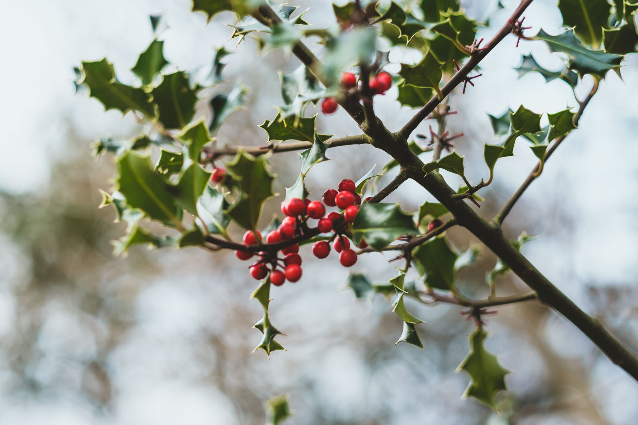 Close up of holly and berries at The Parlour at Blagdon wedding venue in Newcastle
