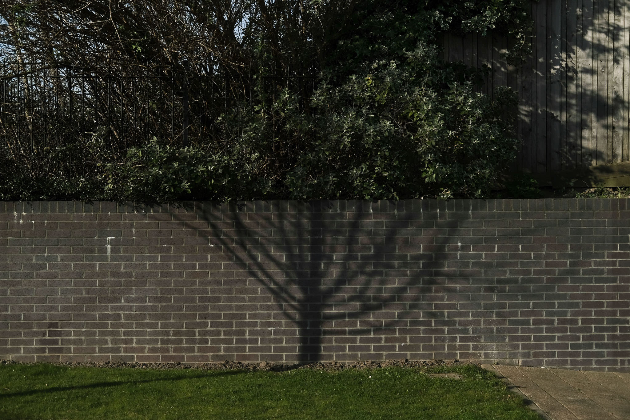 Funny photo of a tree growing above a wall while a shadow from a different tree looks like the trunk