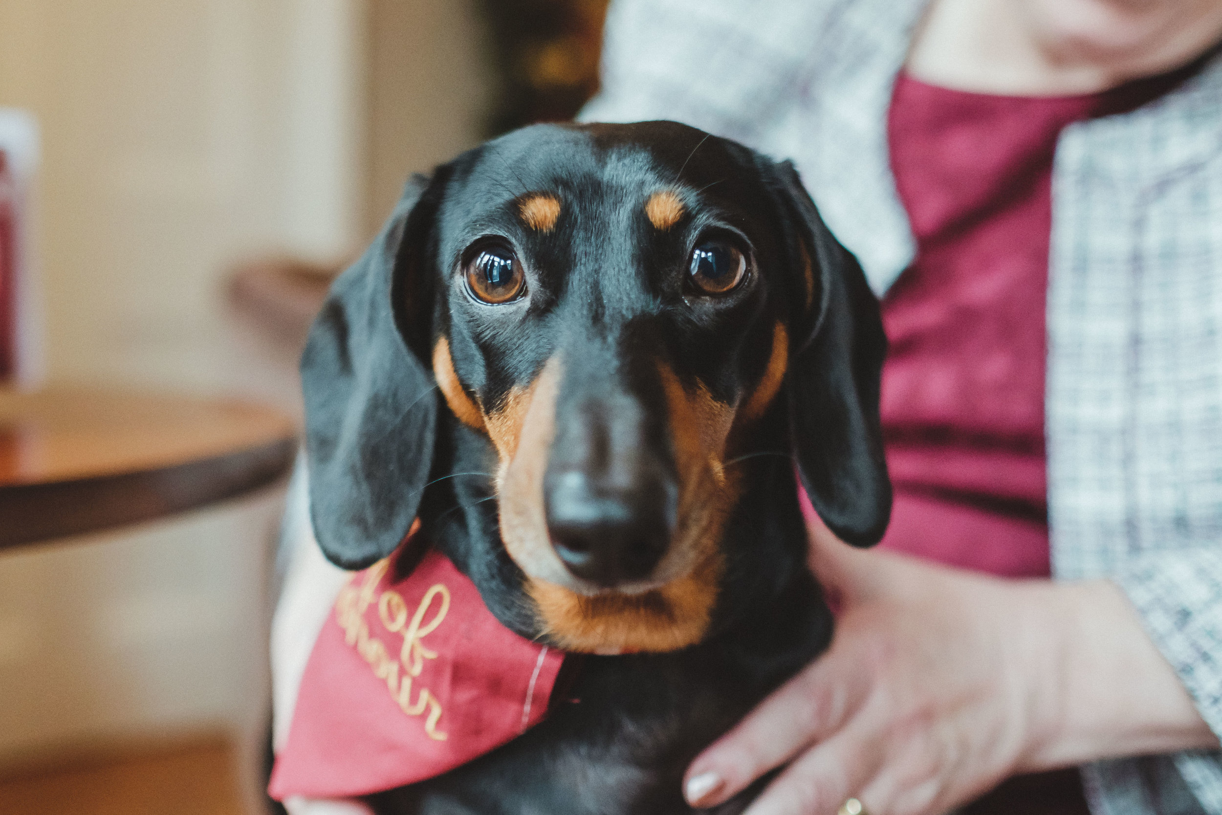 Wedding dog of honour - Eze the sausage dog