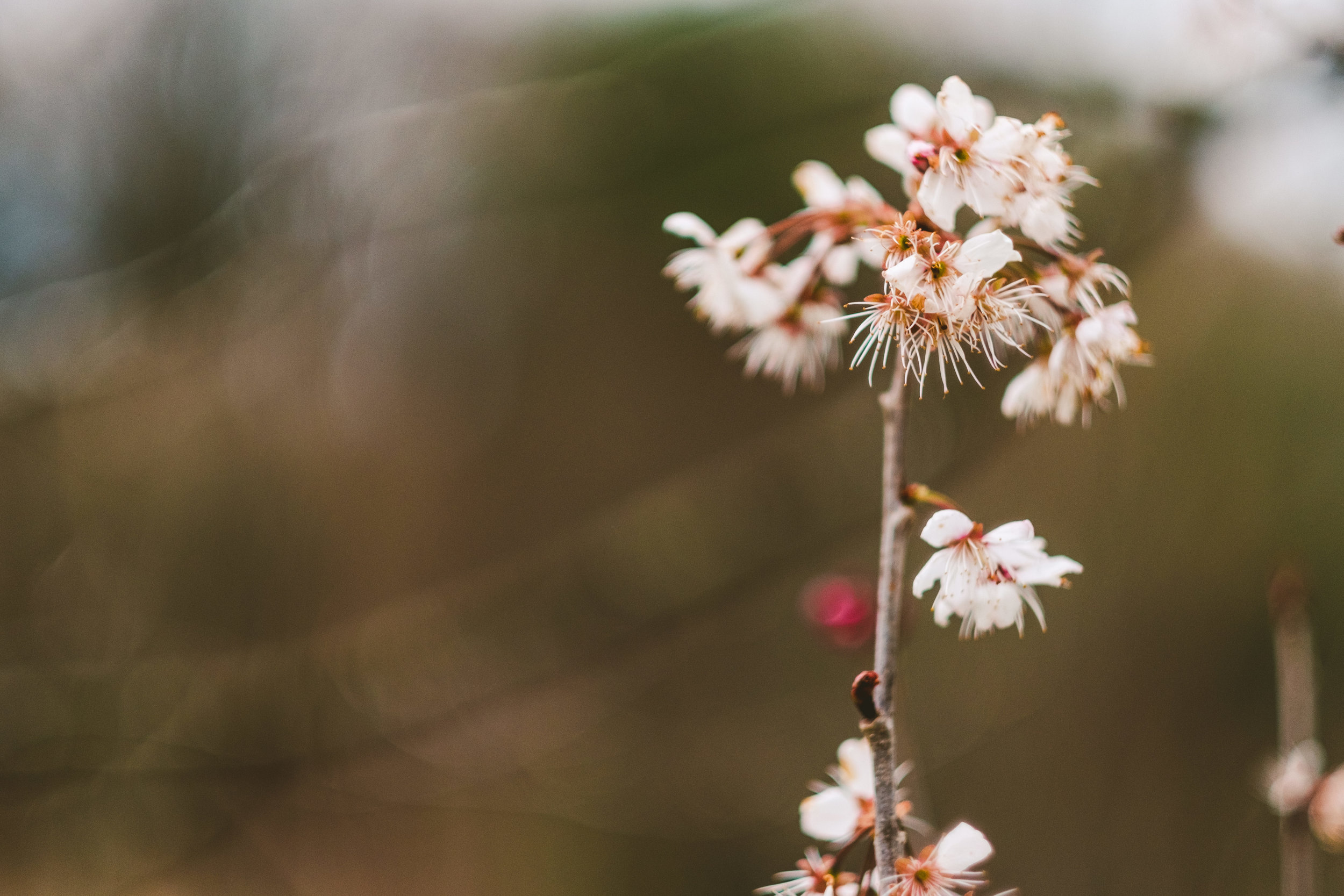 Close up of tree blossom on Derwent Walk