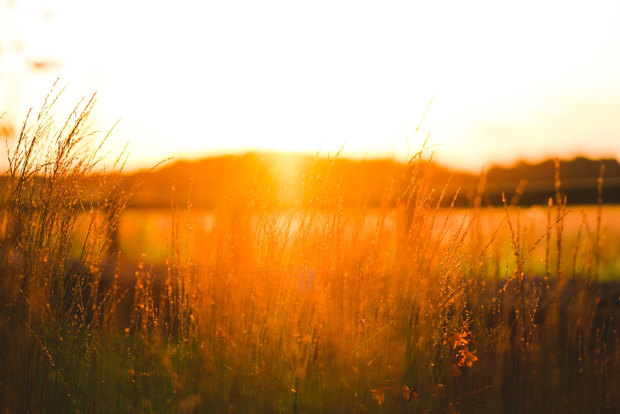 Tall grass at sunset at Newton Hall