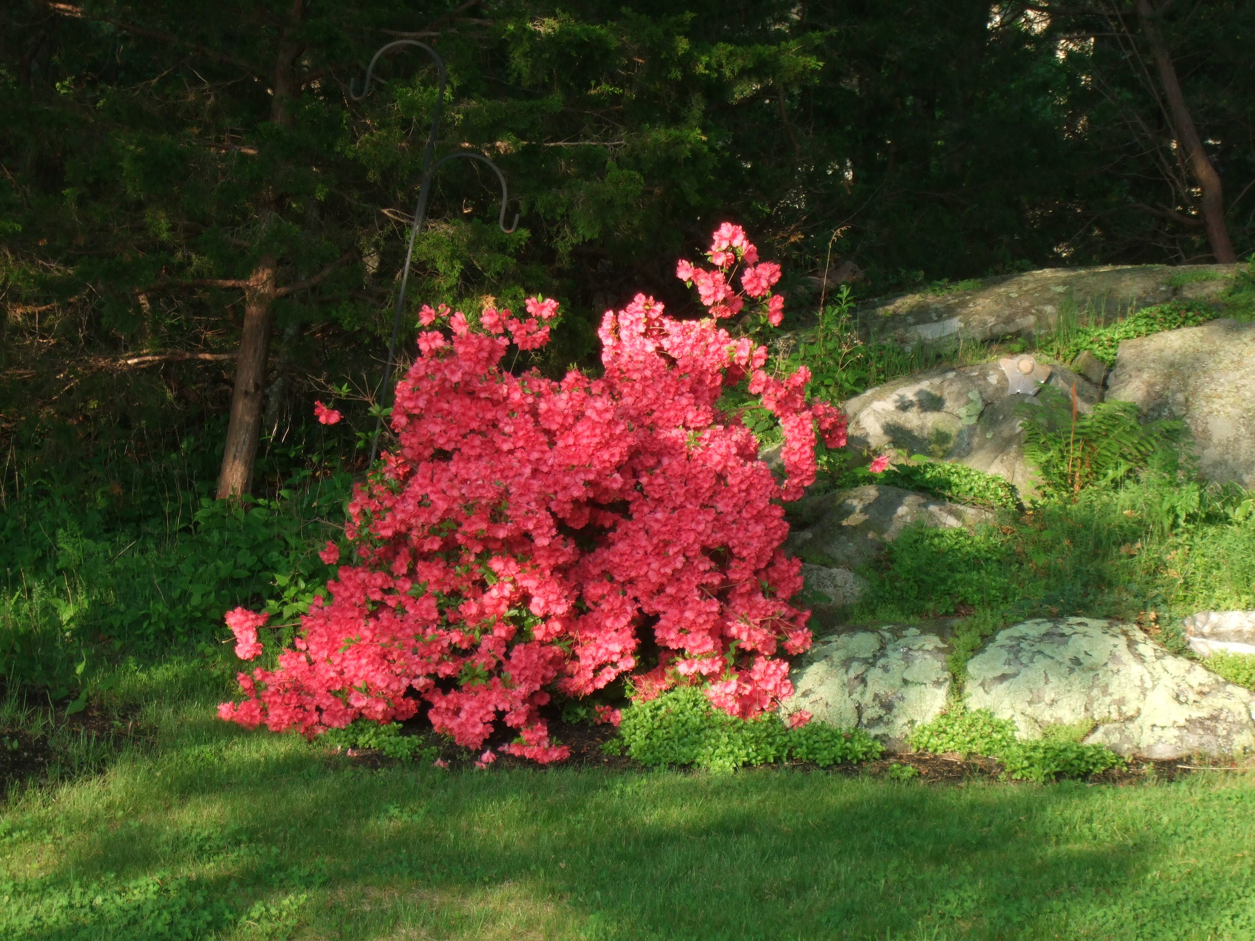 Spring time azalea. South Shore, MA