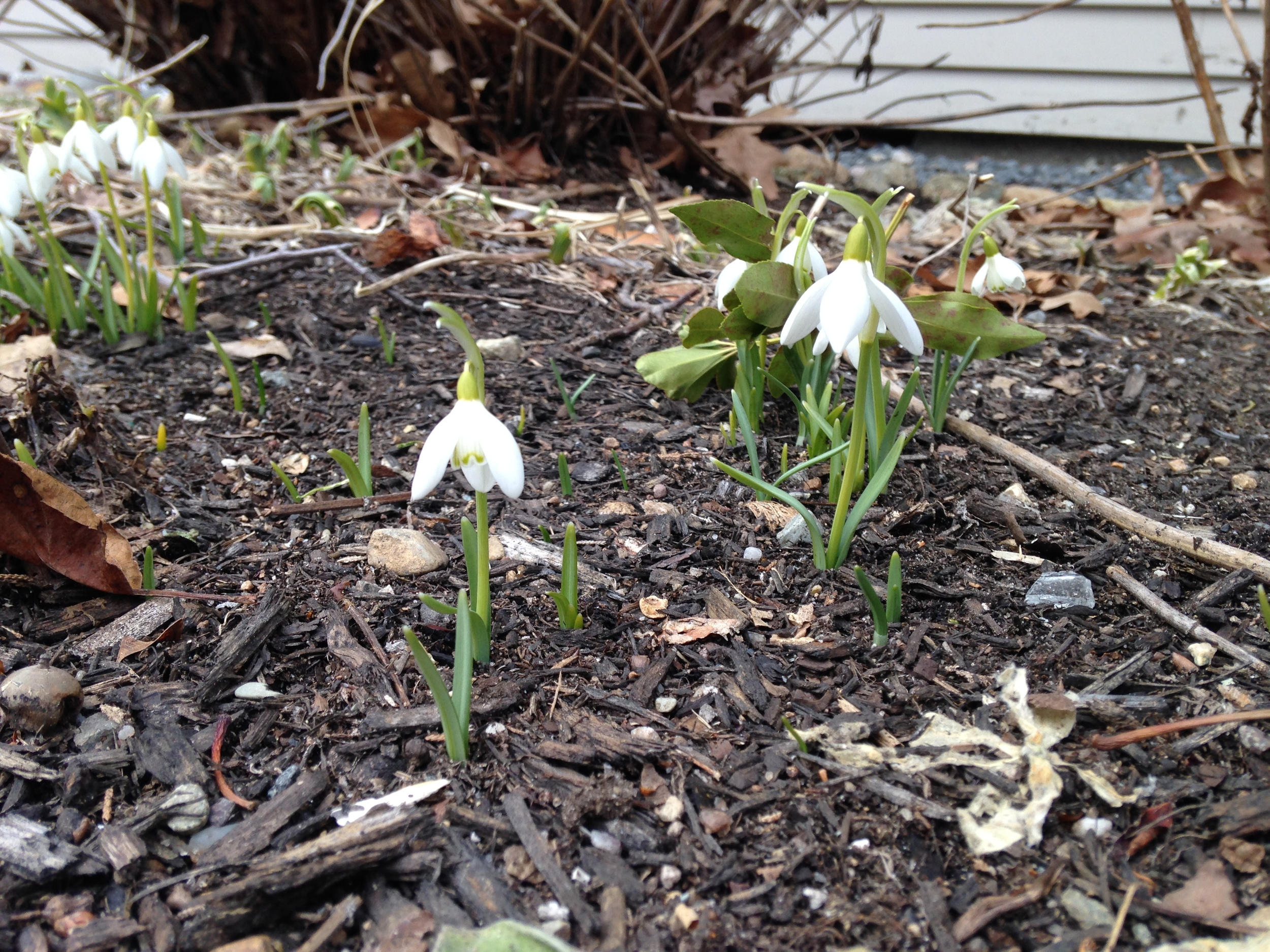 Snowdrops out at last. Earlier this season there was 6 feet of snow covering this particular garden bed.