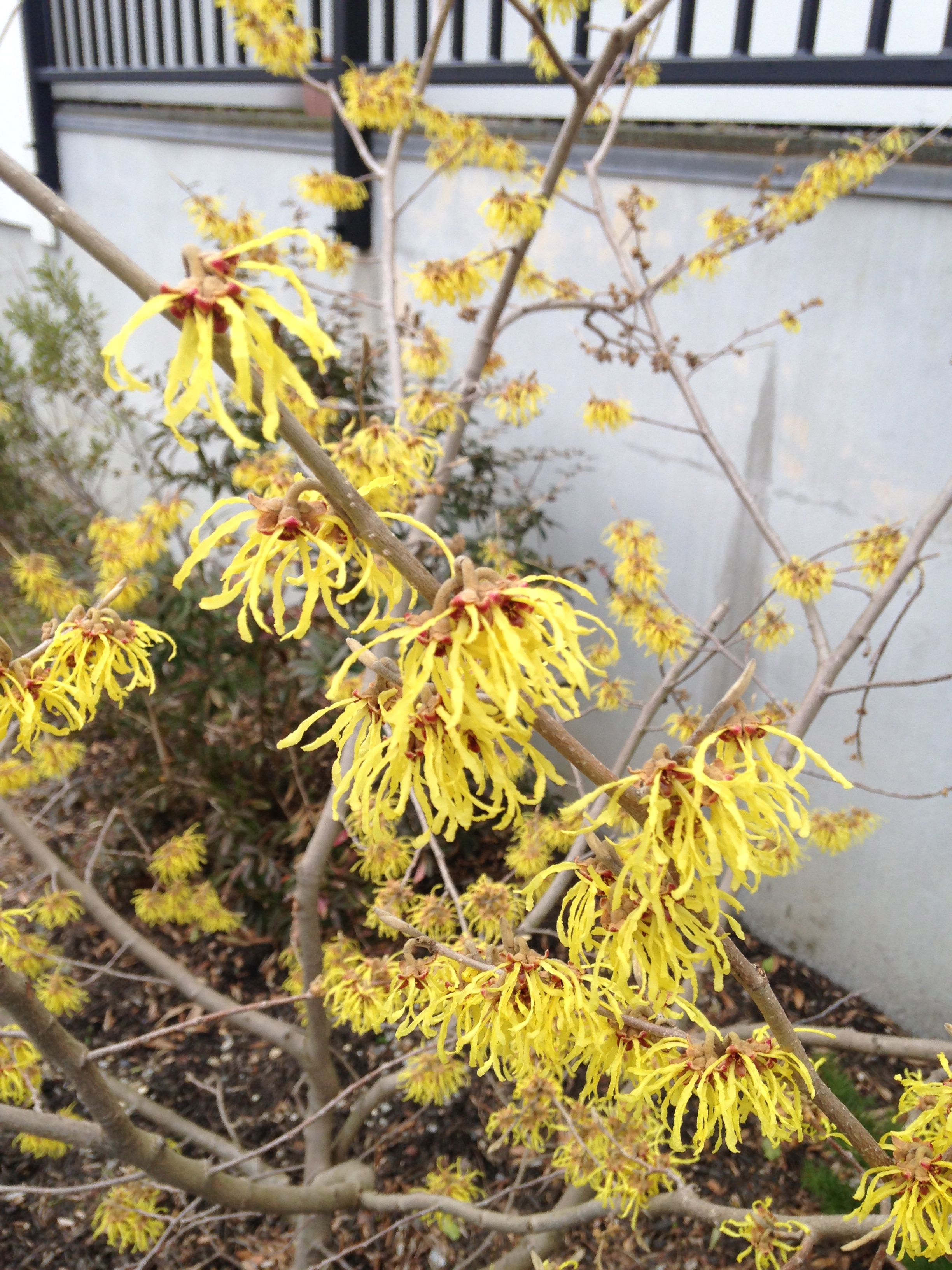 Close-up of hybrid witch hazel in bloom.