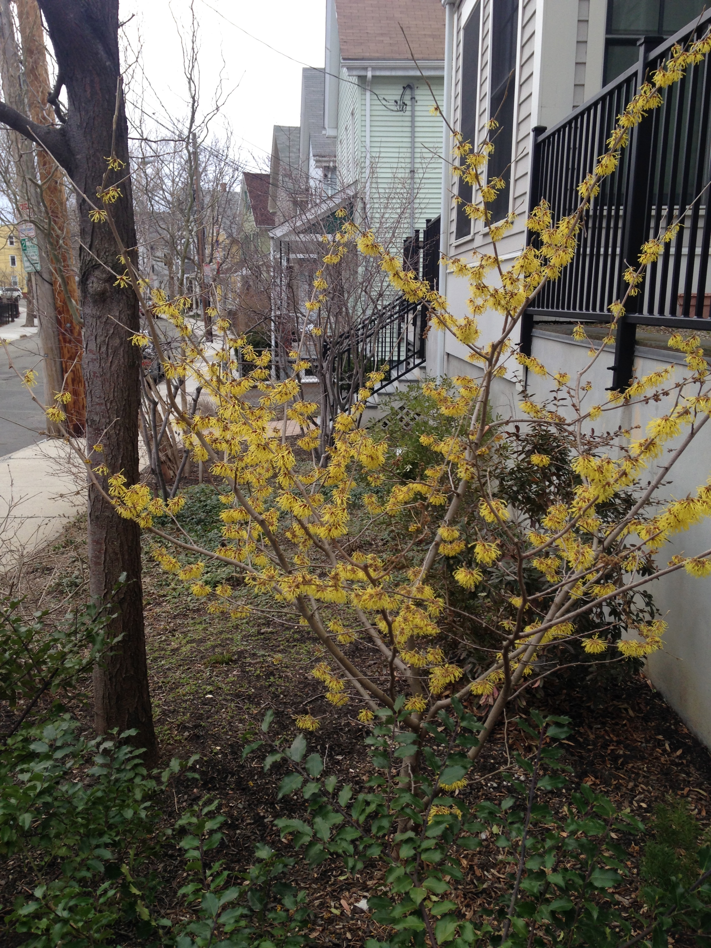 Hybrid witch hazel provides striking late-Winter/early-Spring color to an otherwise drab landscape.