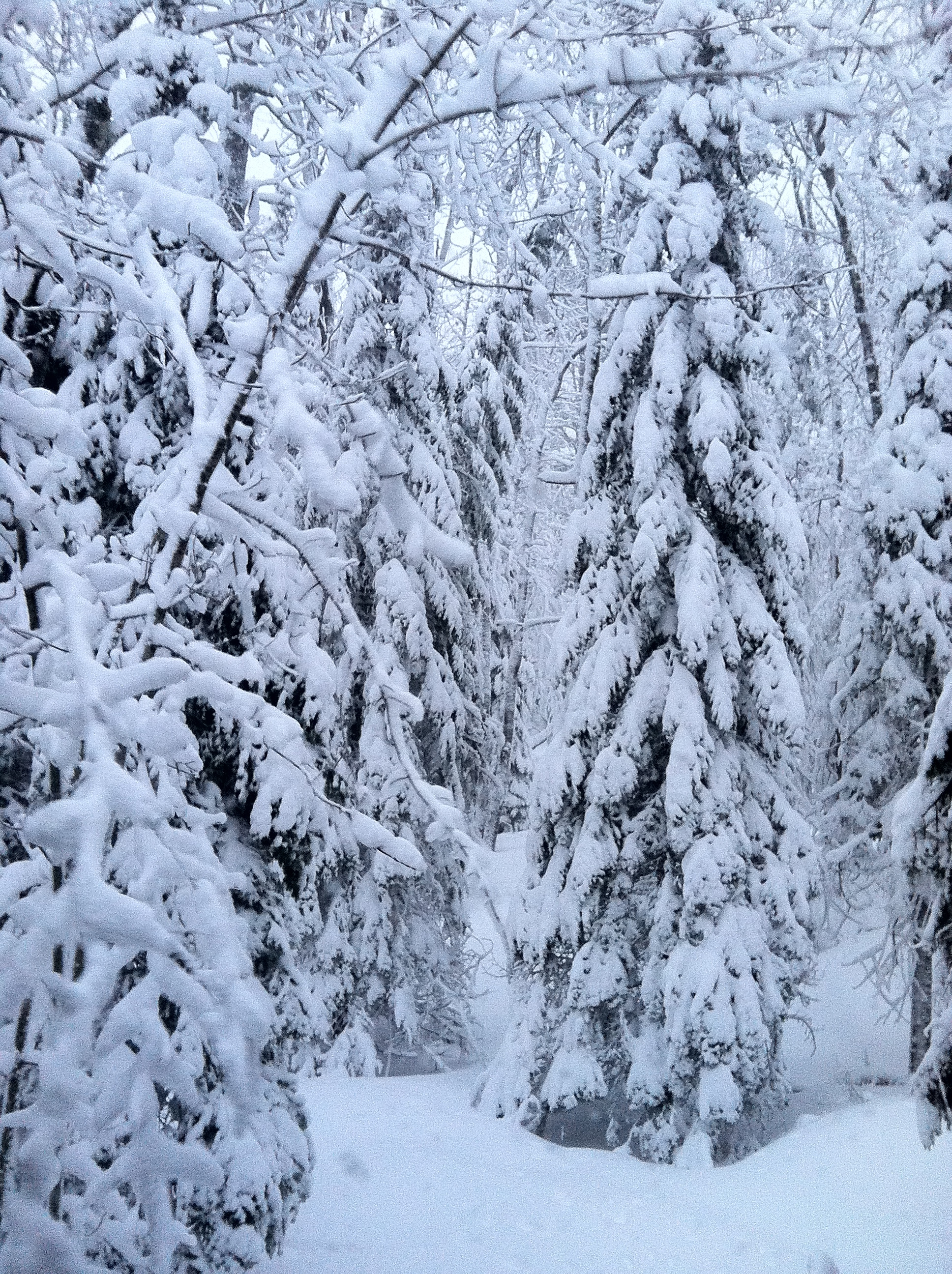 Snow Covered Evergreens on Madeline Island