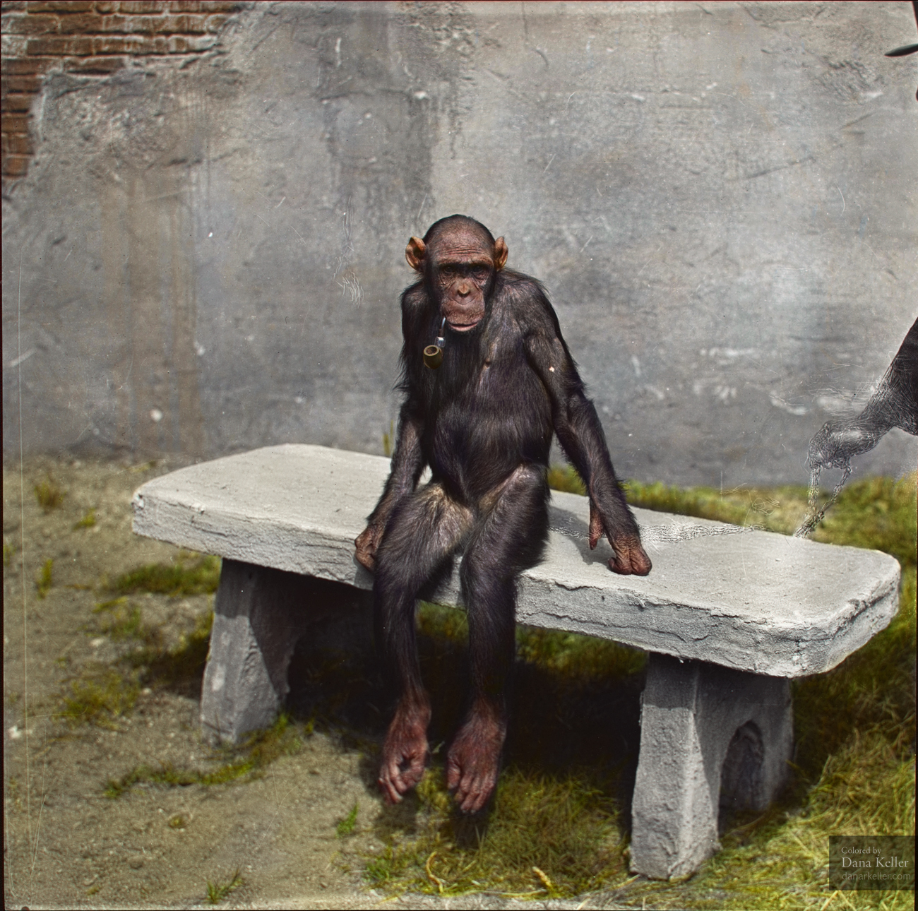 "Chimpanzee ""Mary"" sitting on a bench with a pipe, ca 1940"