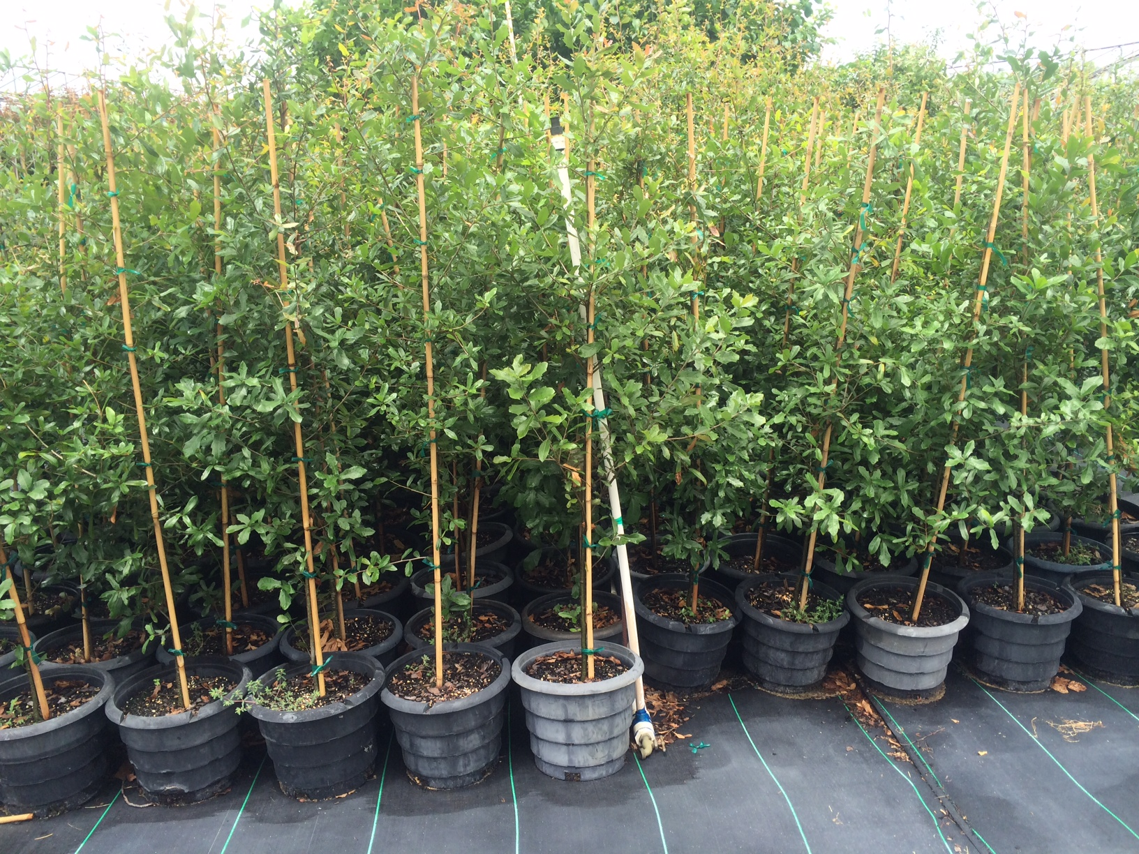 375 of Galveston's most resilient tree children, grown at  Rennerwood Tree Farm