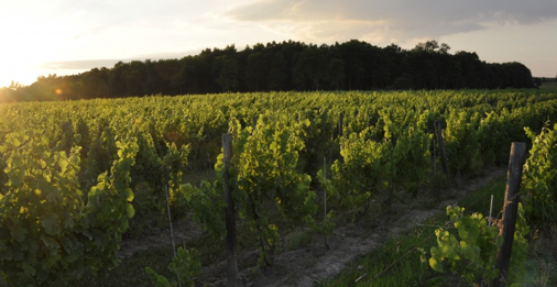 One of Hermann J. Wiemer's Vineyards