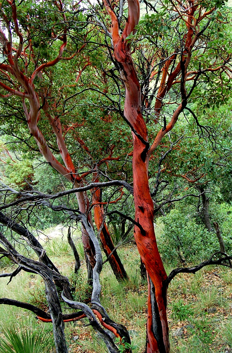 madrone-tree.jpg