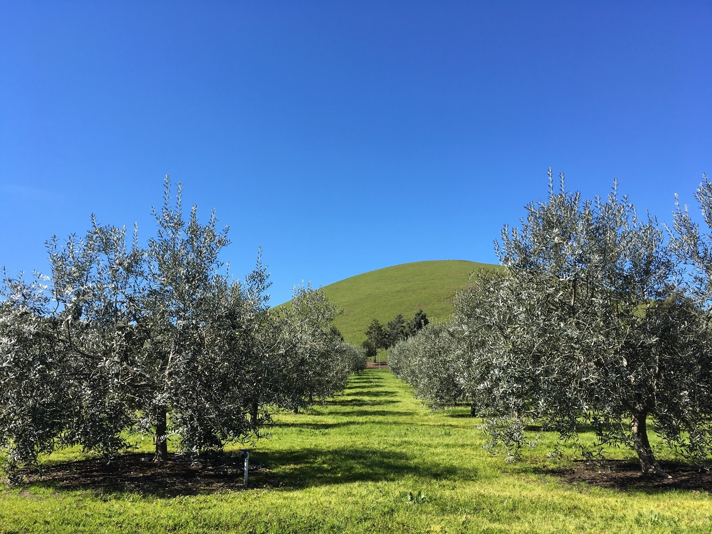 Fat Gold Olive Oil Tour, Picking & Picnic