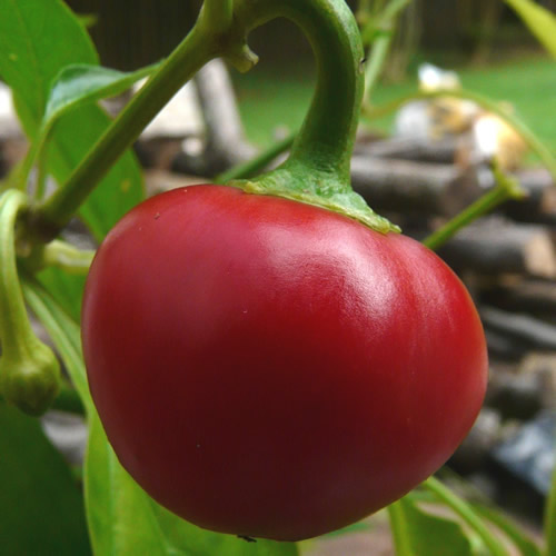Cherry Pepper.jpg